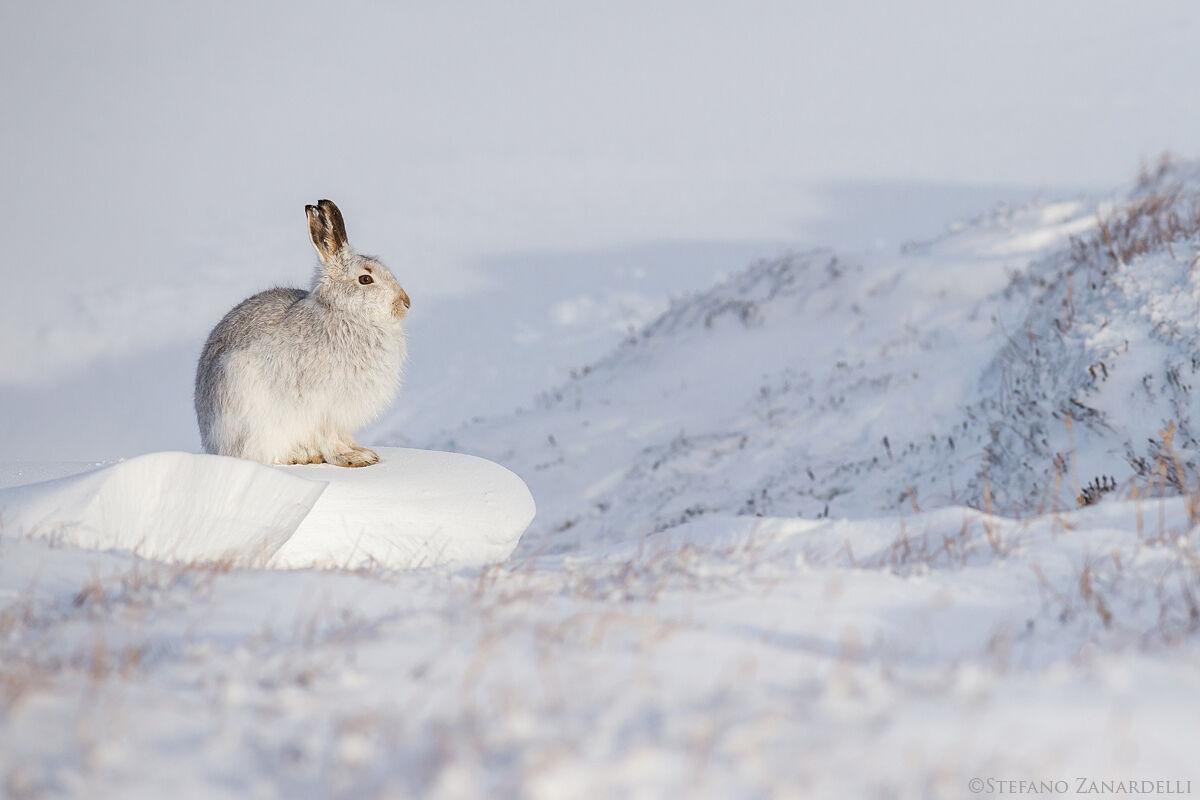 Mountain Hare...