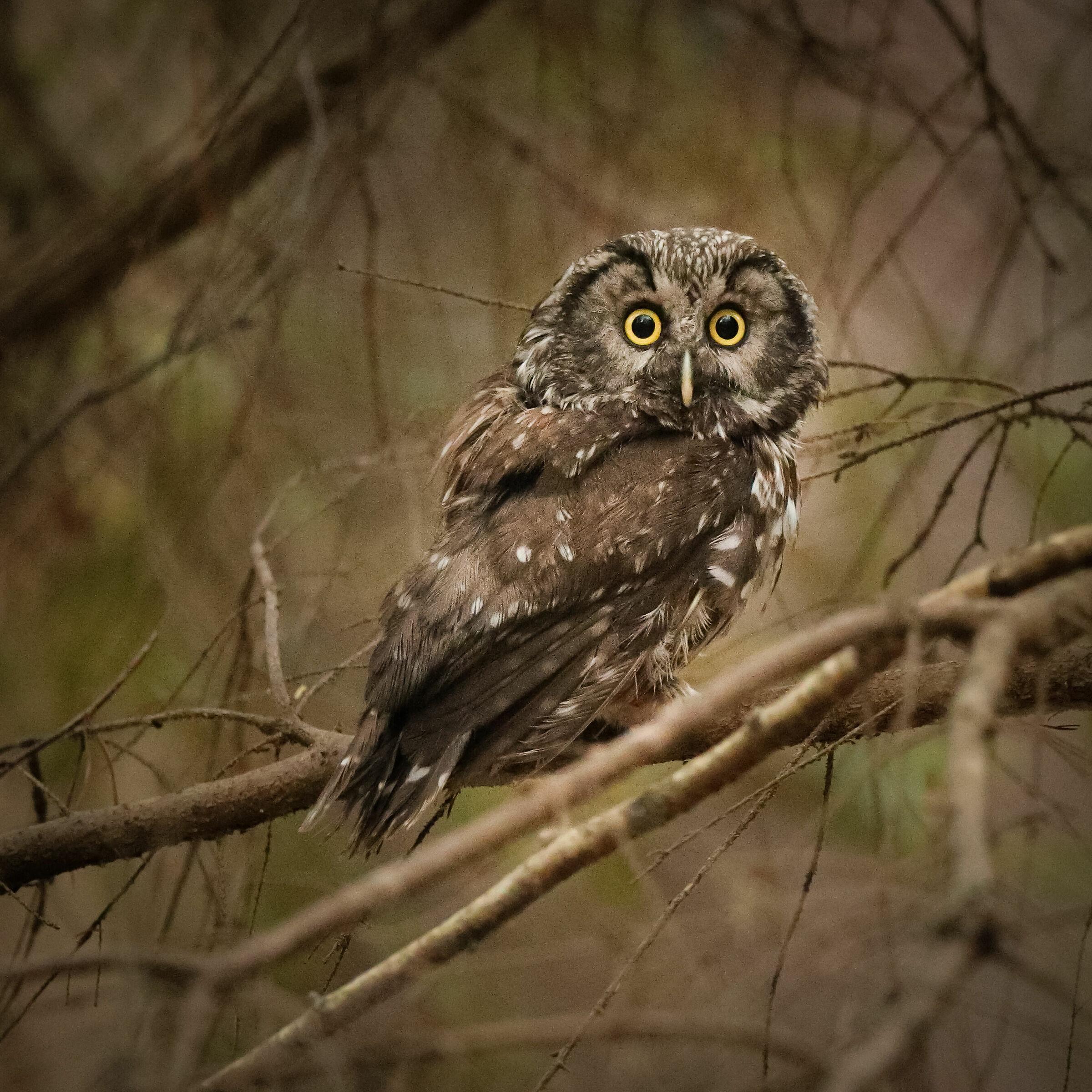 Boreal owl...