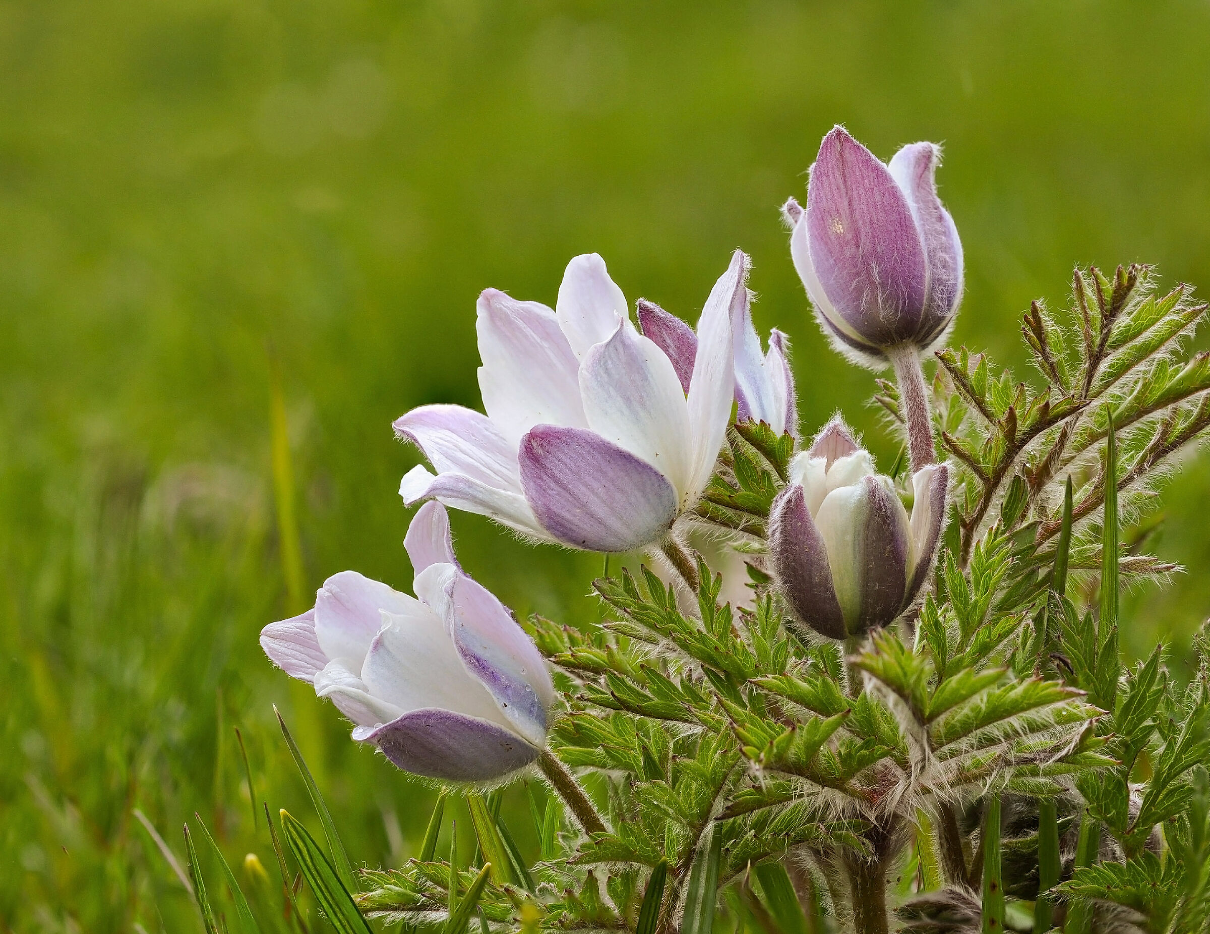 Anemone alpino...