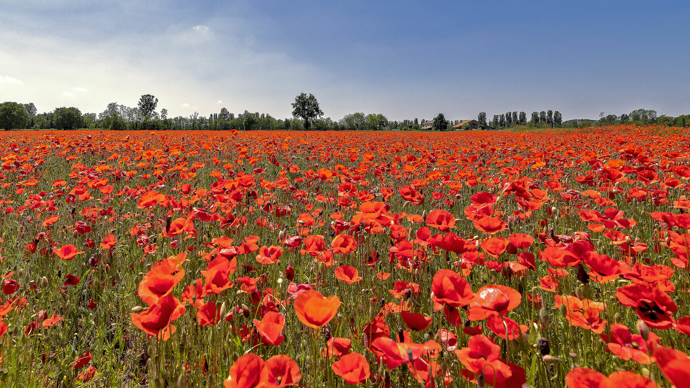The House of Poppies...