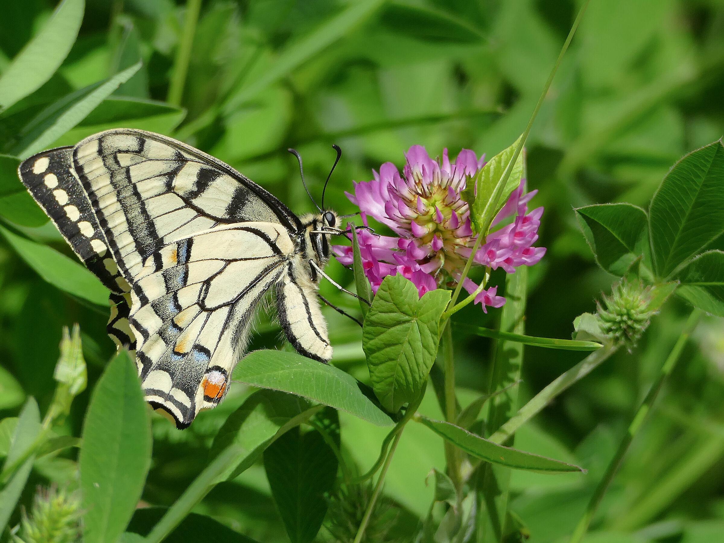 Paz krolowej 2 (Papilio machaon)...