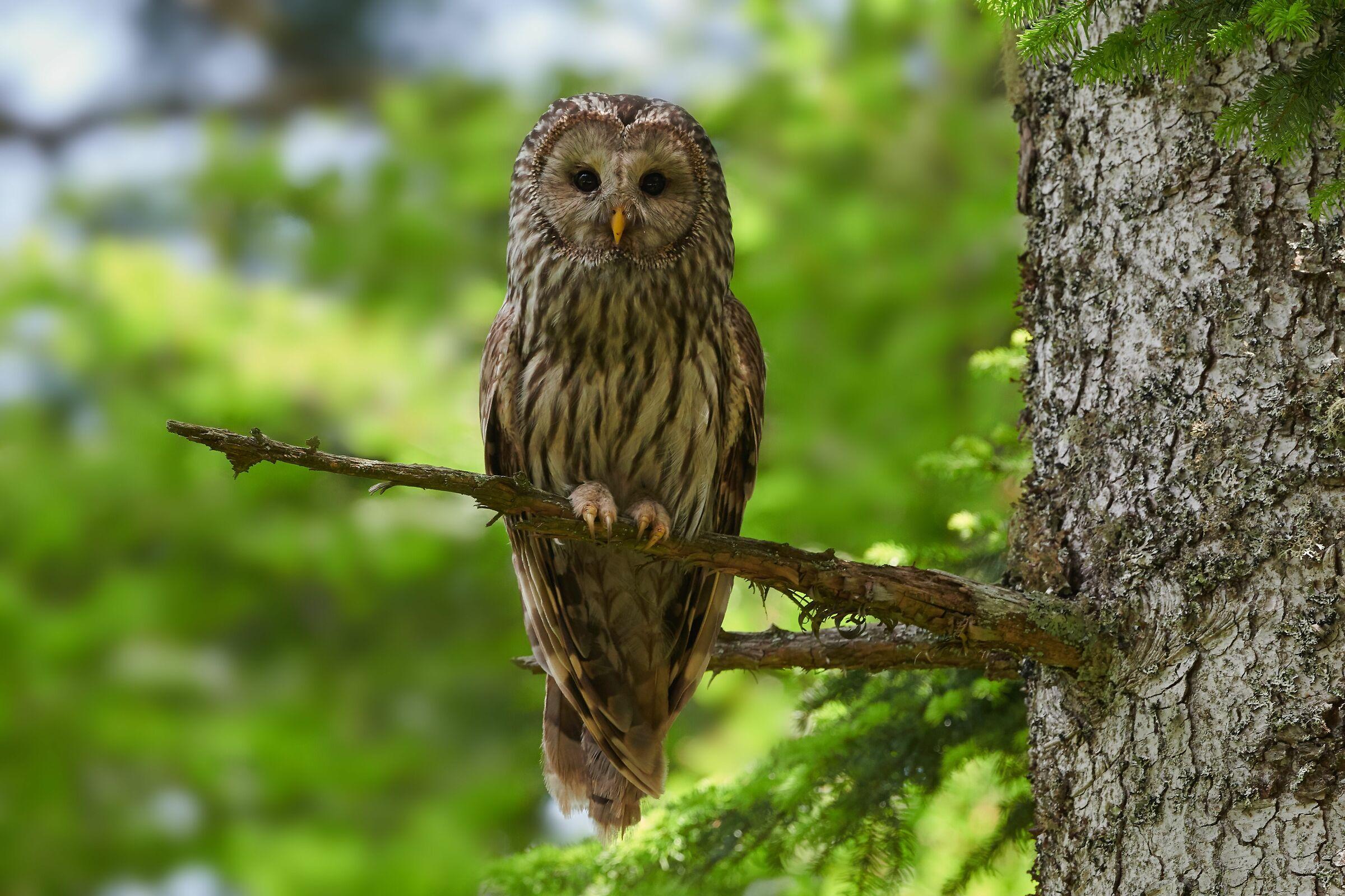 Ural Owl-Slovenia...