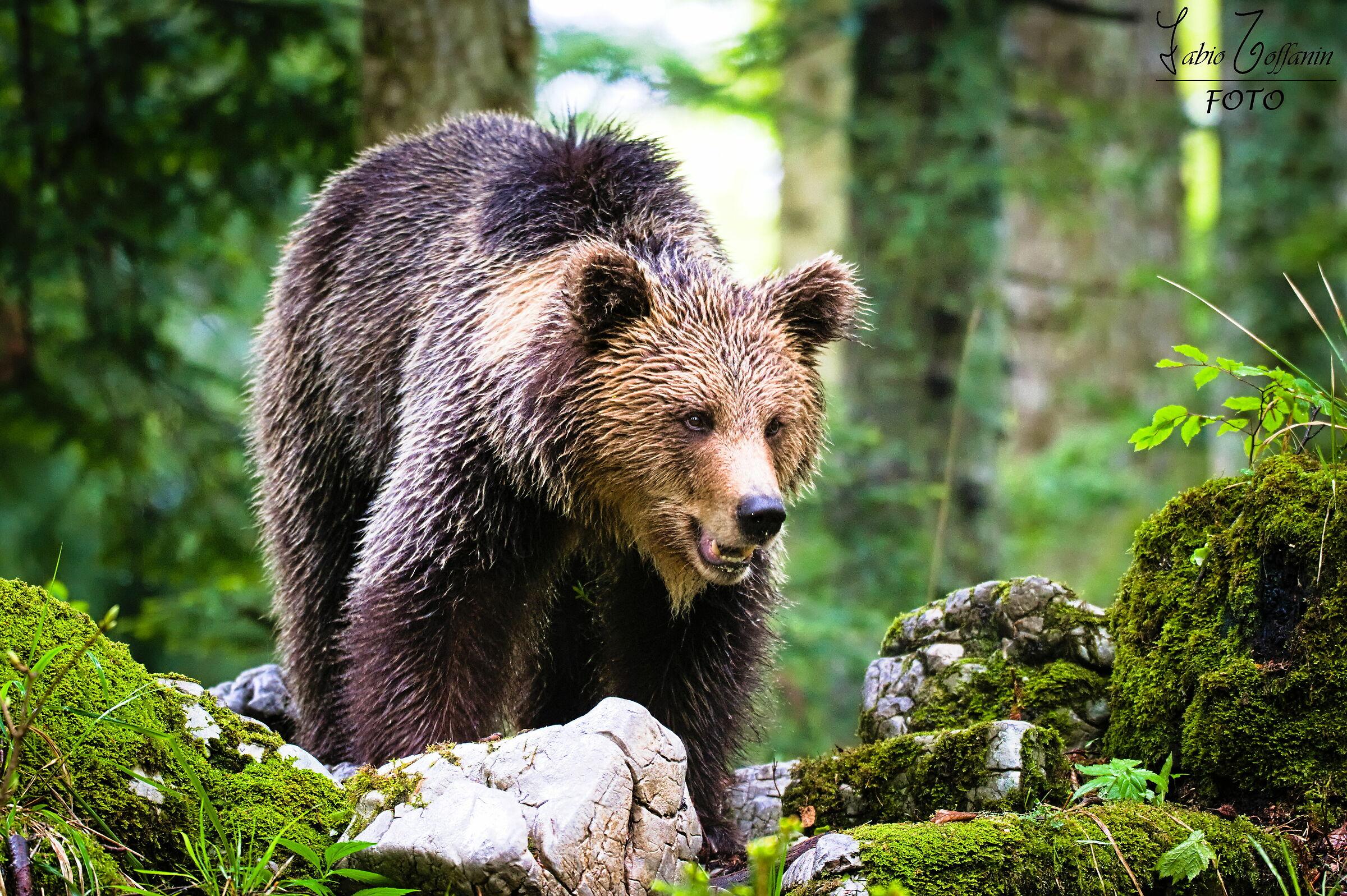 Bear...
