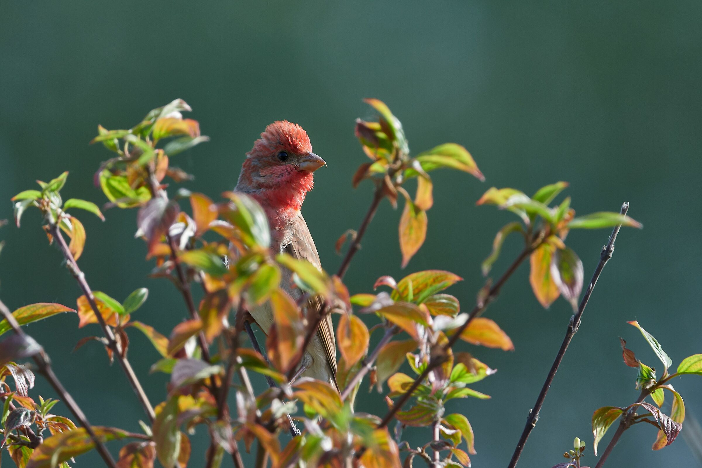 Scarlet Bullfinch...