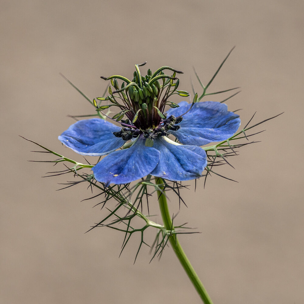 Love-in-a-mist...