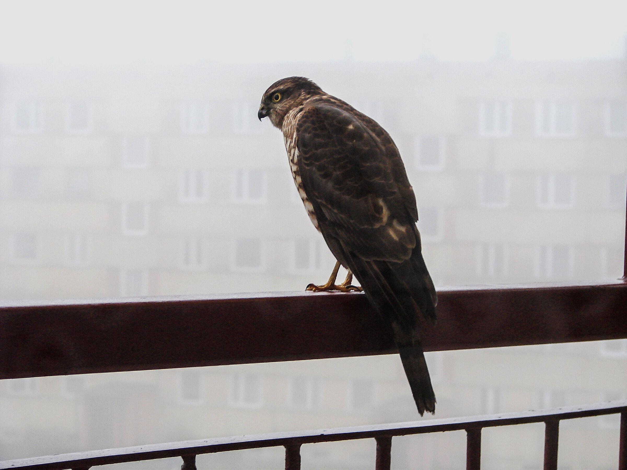 Sparrow hawk (Accipiter nisus)...