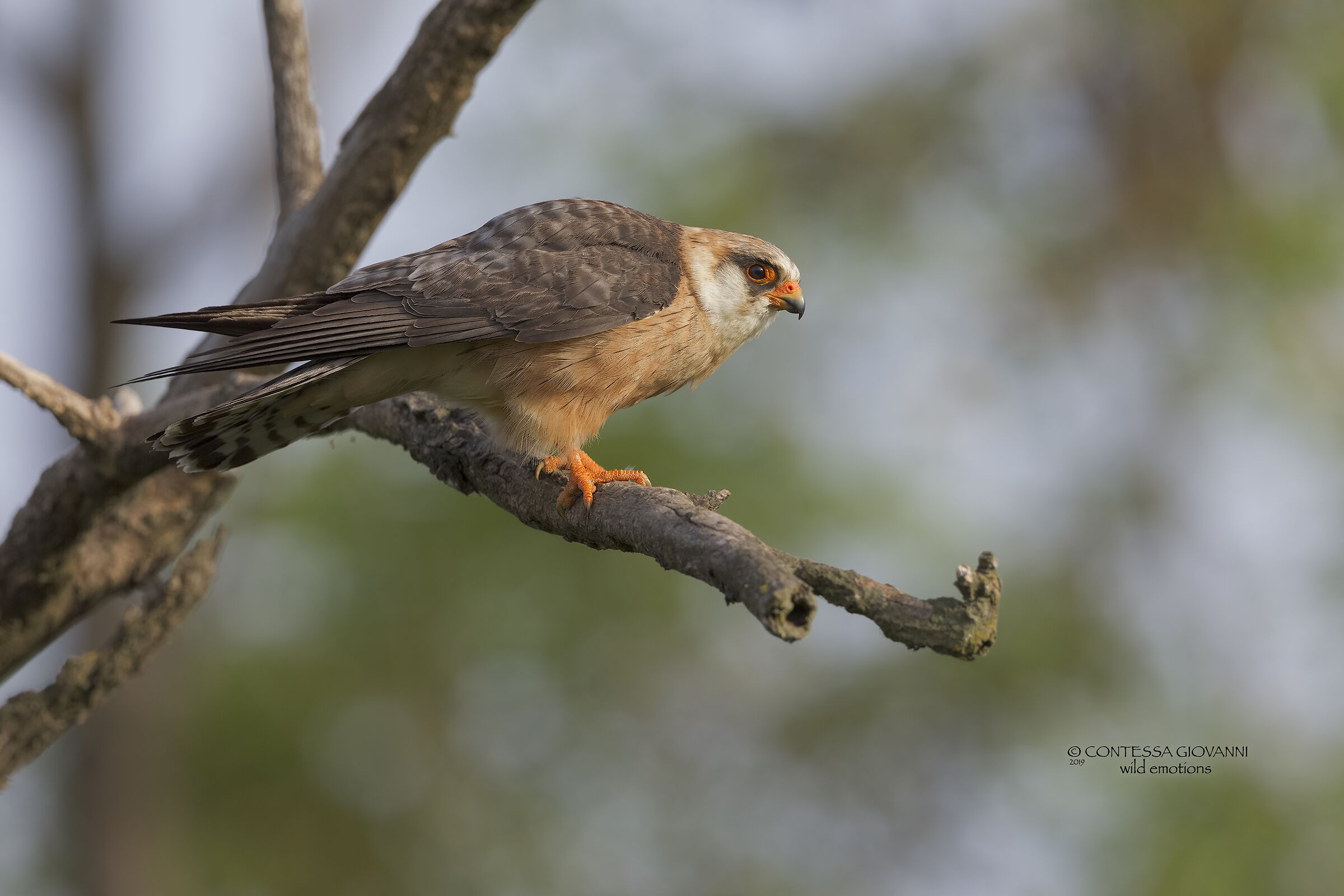 Female cuckoo falcon ...... first light of the morning ......
