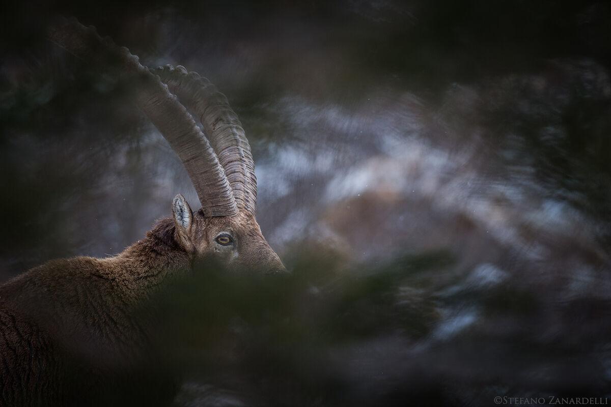 Ibex...