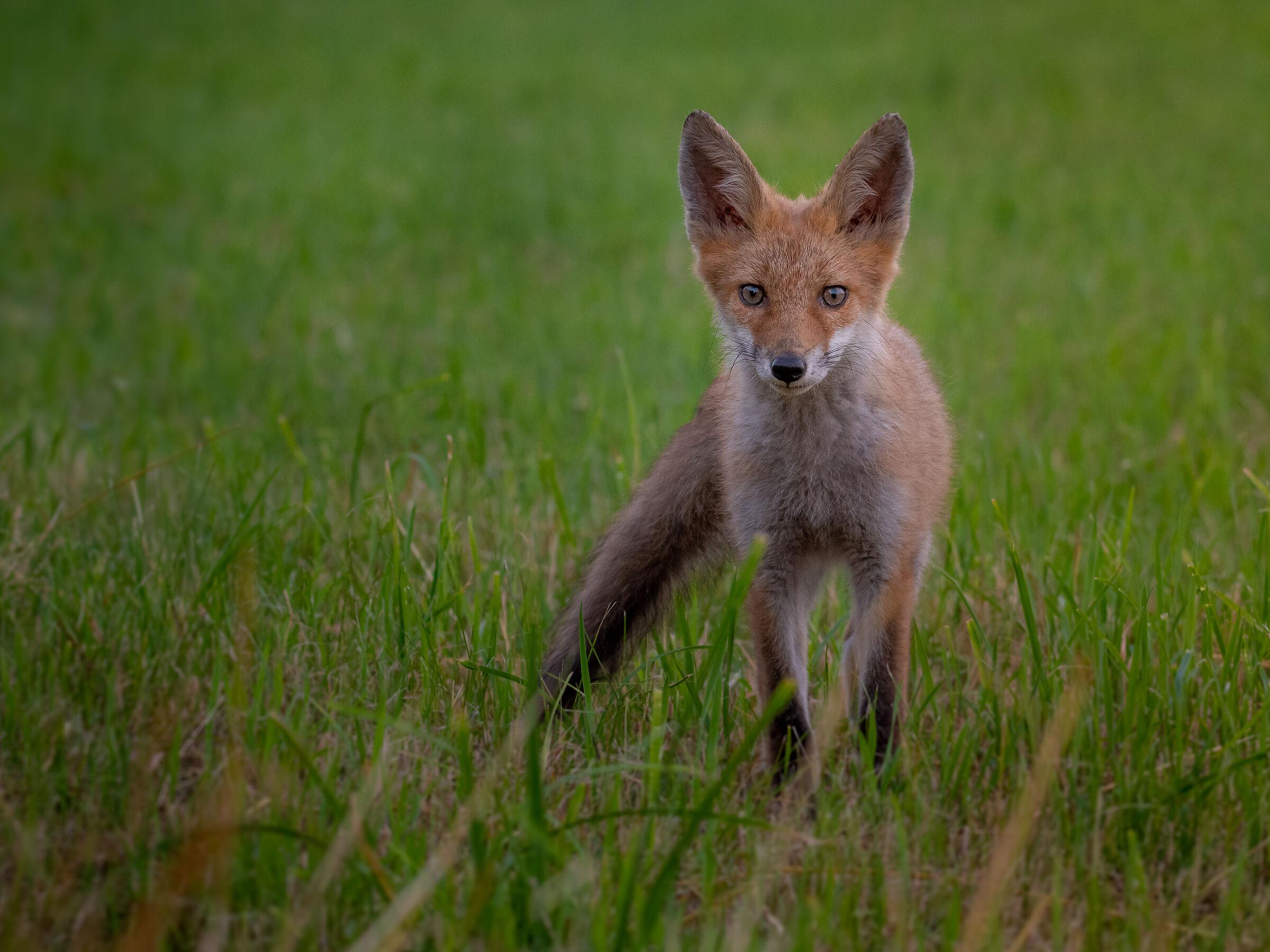 Red fox...