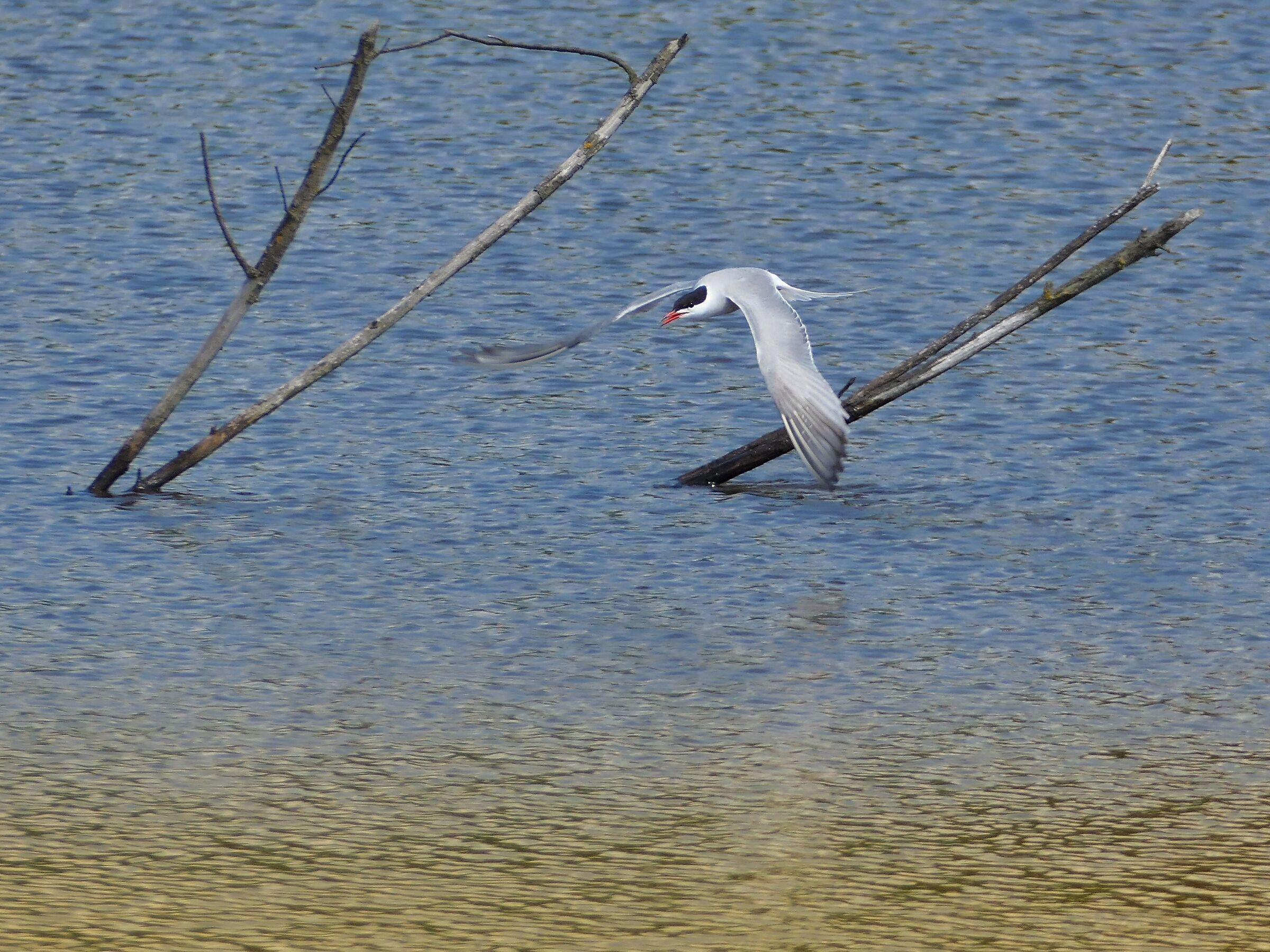 River tern...