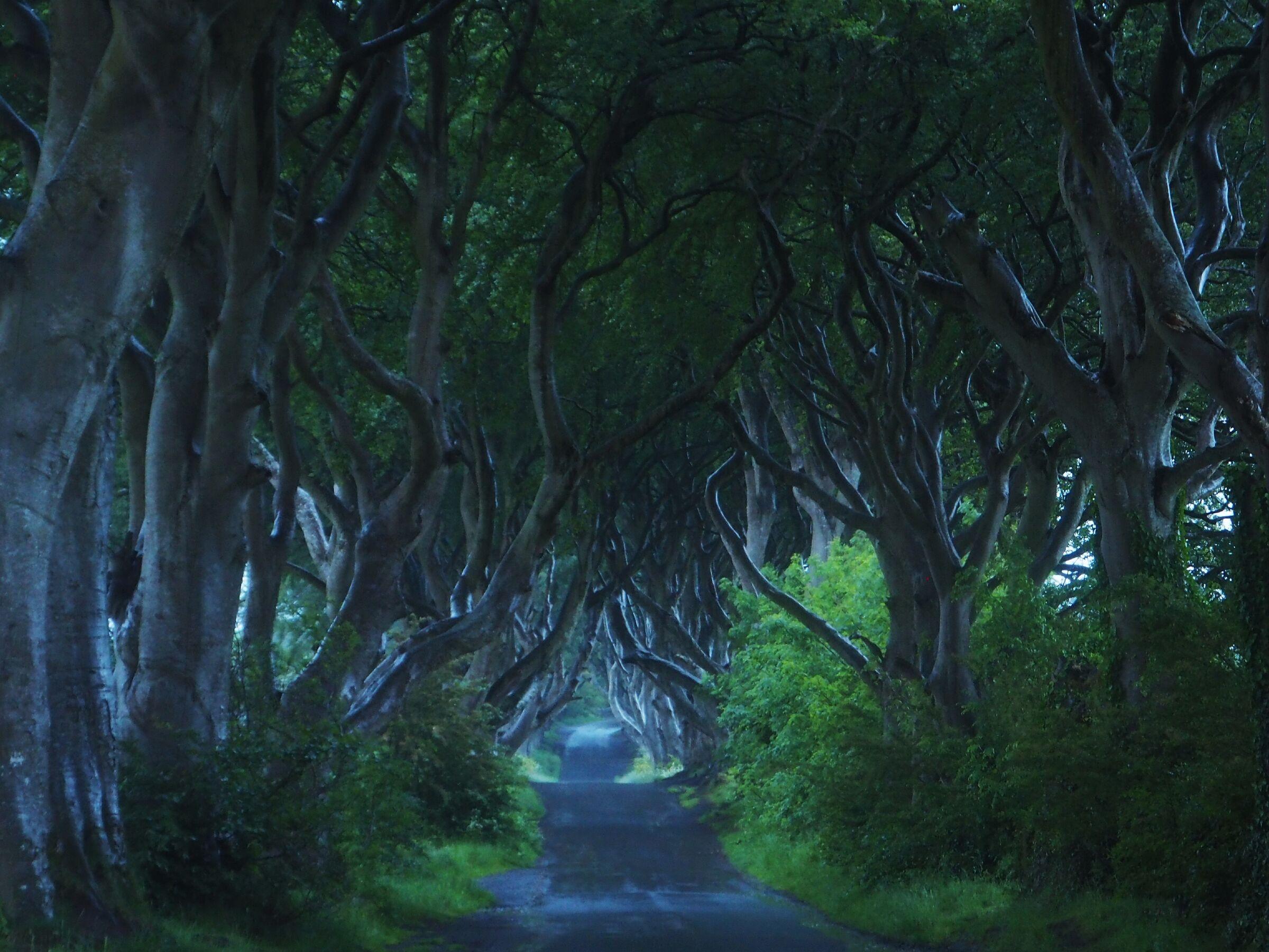 The dark hedges...