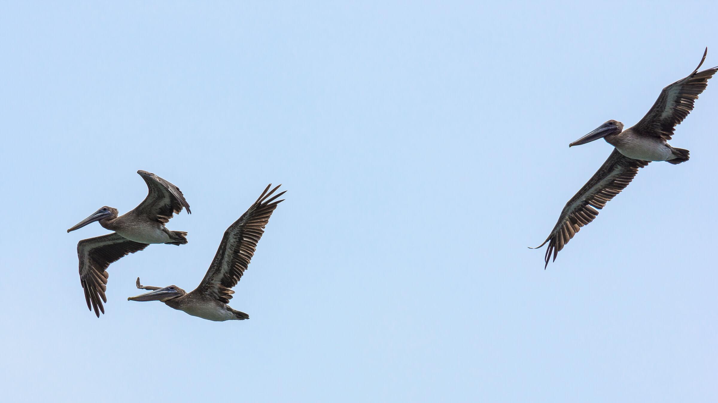 Flight of pelicans...