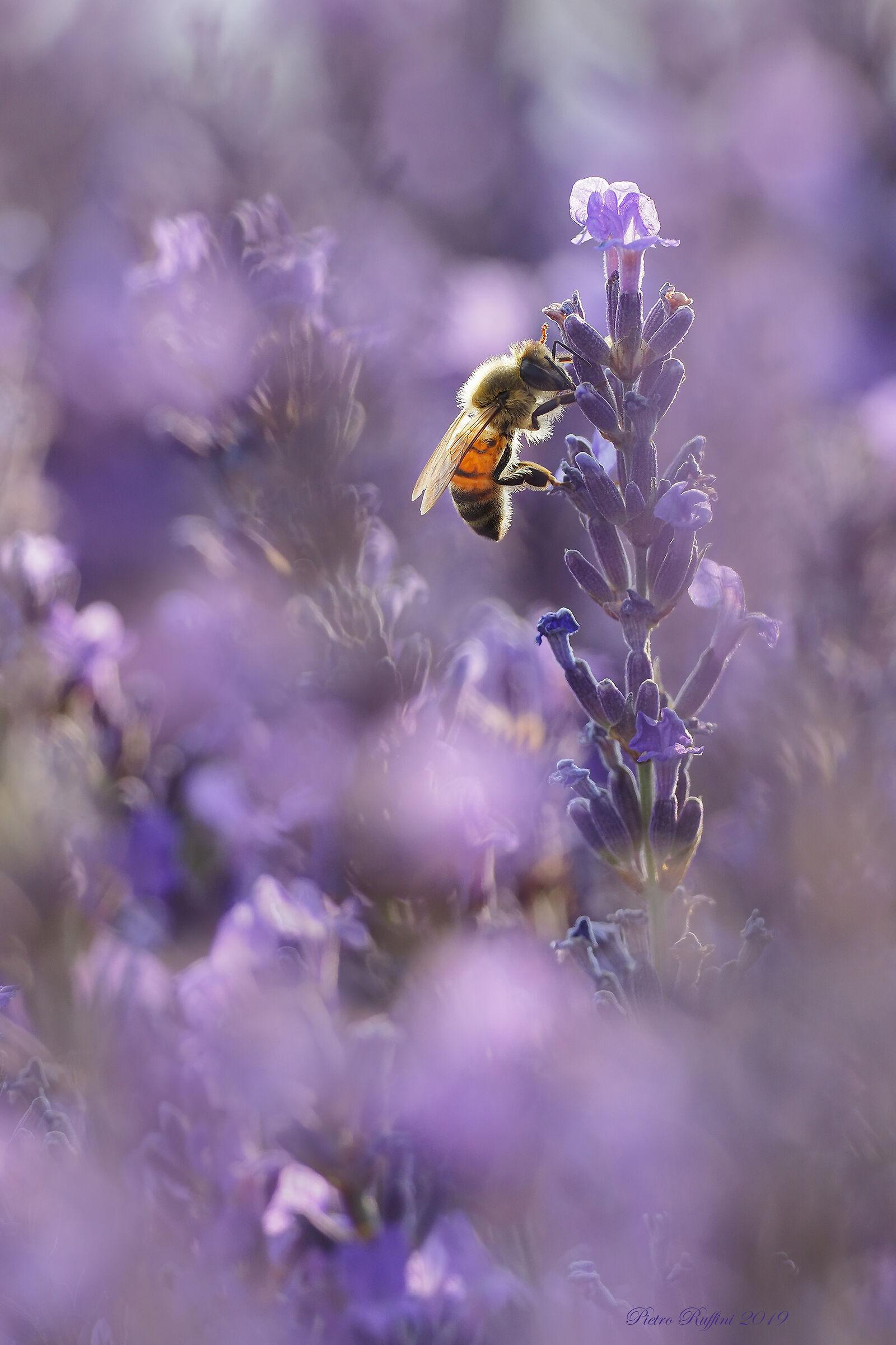 Backlight in lavender...