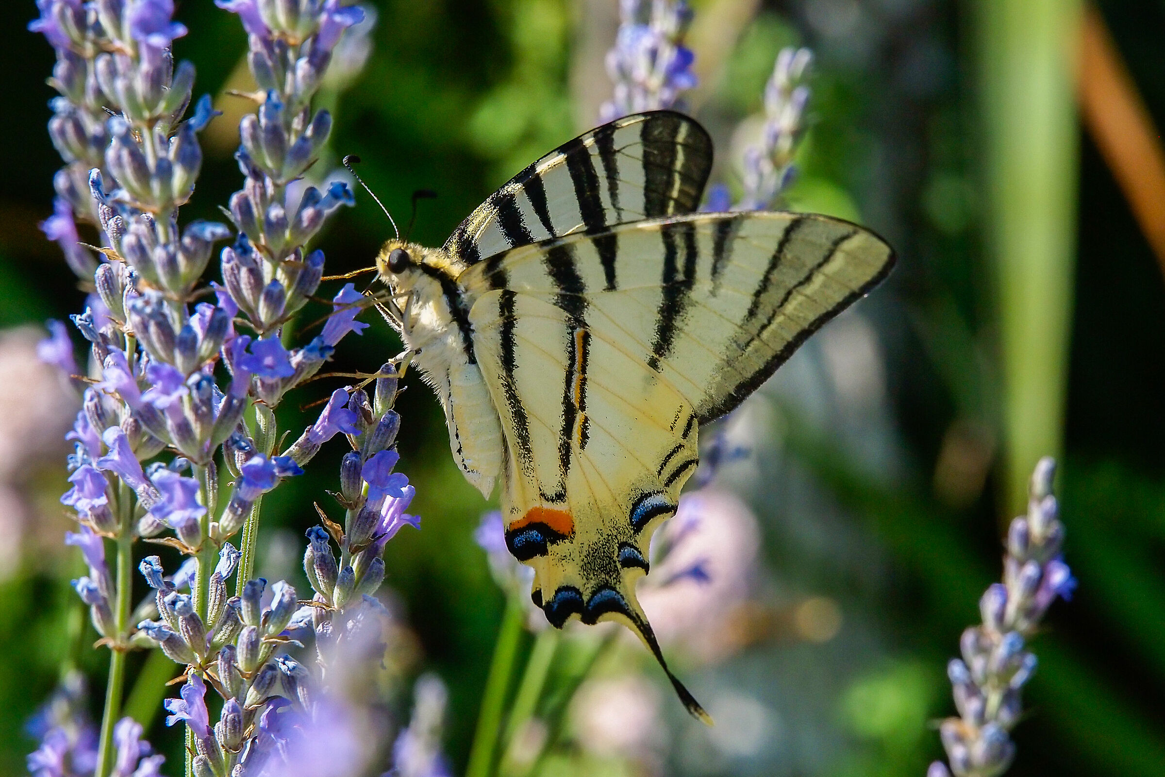 Swallow-tailed yellow butterfly, podalirius Iphiclides...
