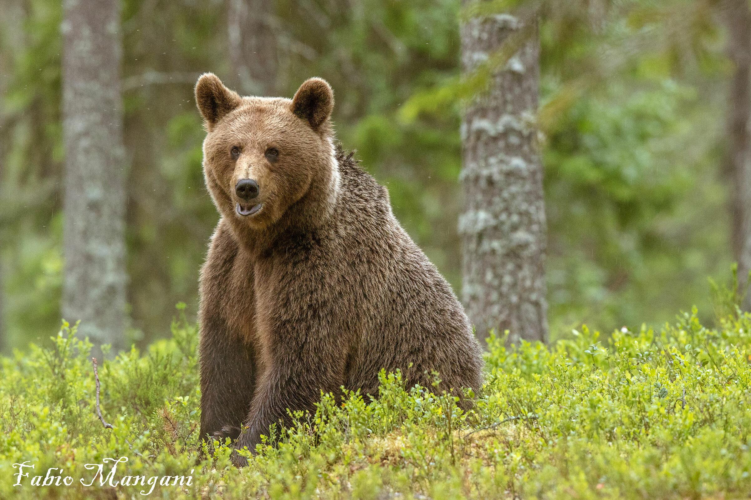 Finnish Bear...