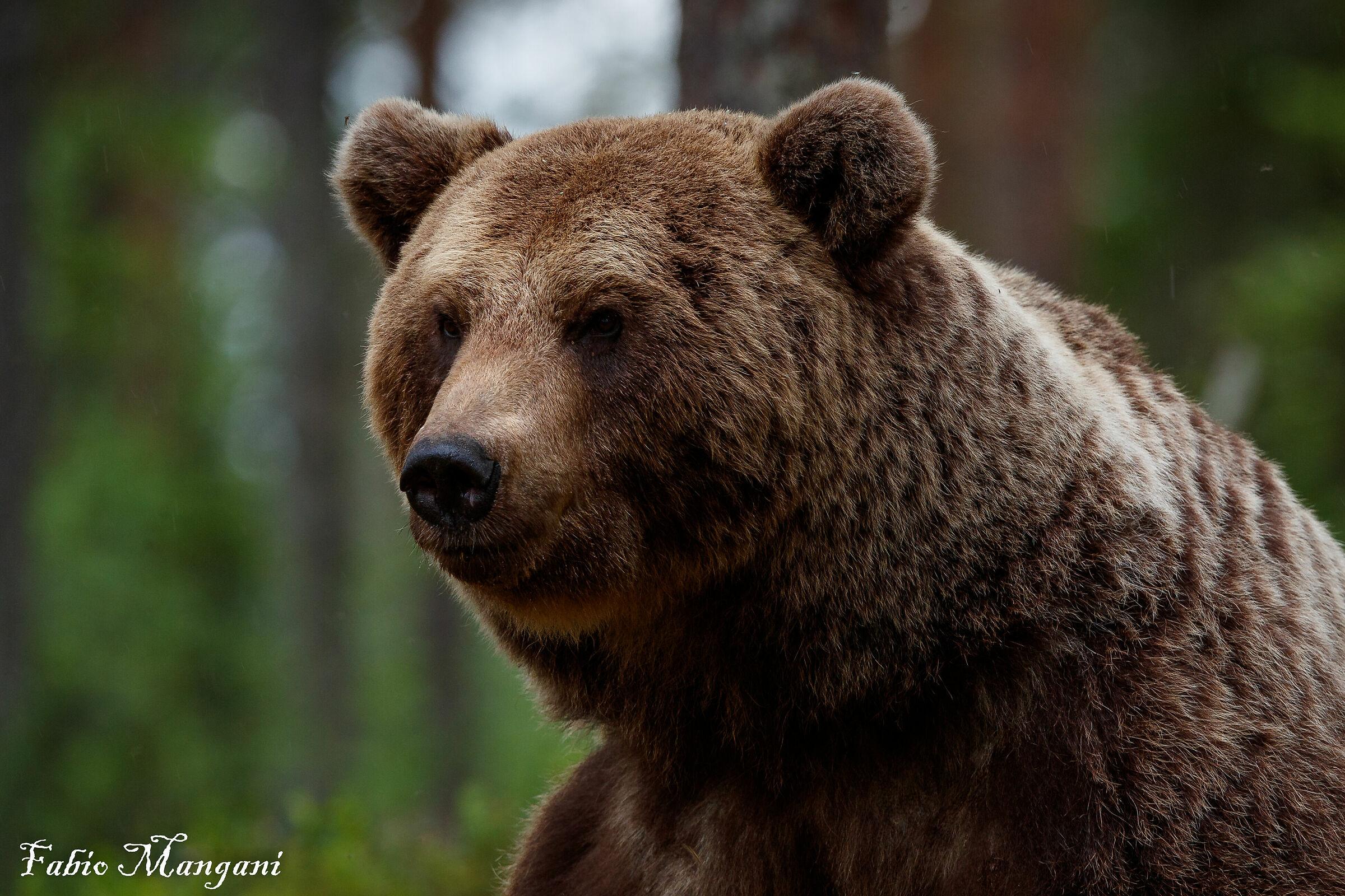 Finnish Bear Close-Up...