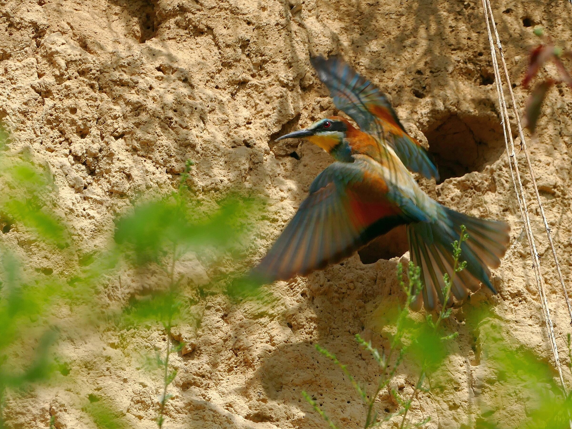 Bee-eater 4...