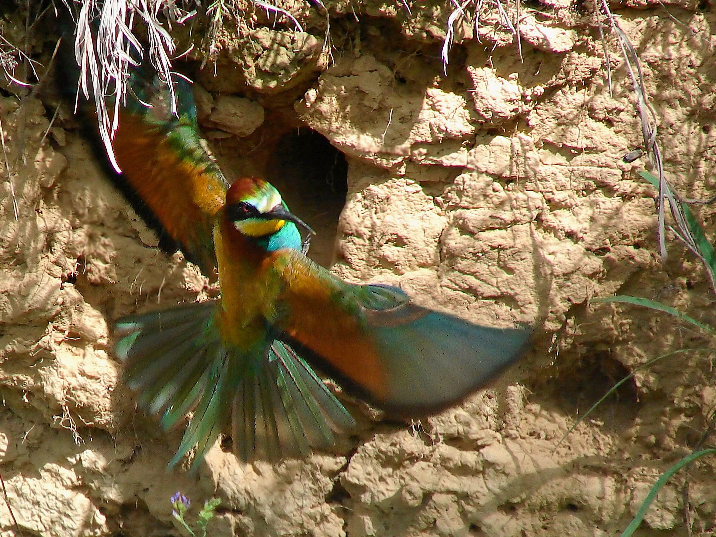 Bee-eater 5...