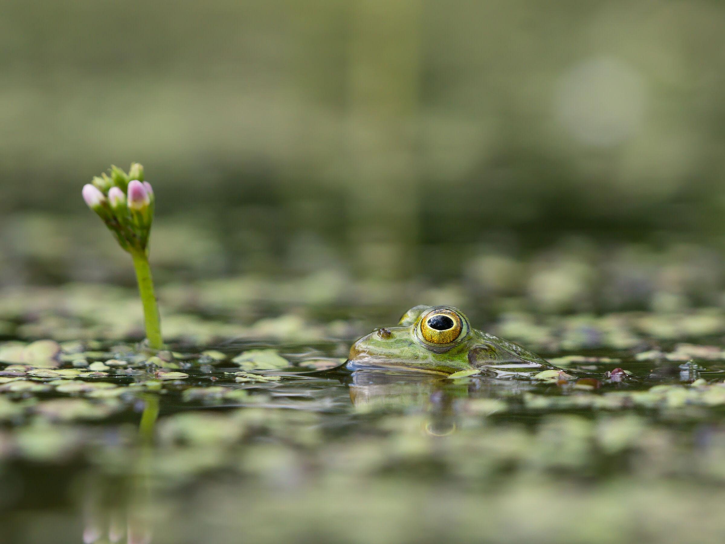Pool frog (Pelophylax lessonae)...