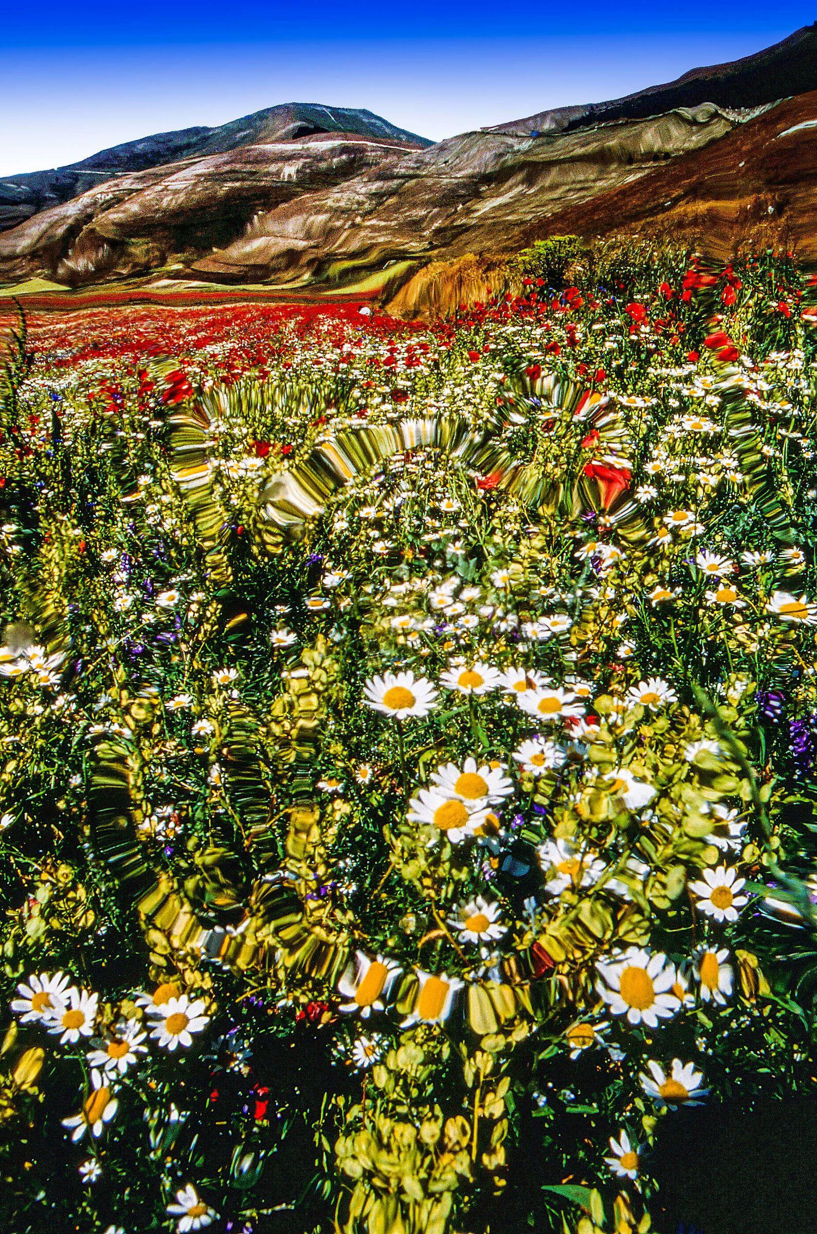 Flowering - Castelluccio...
