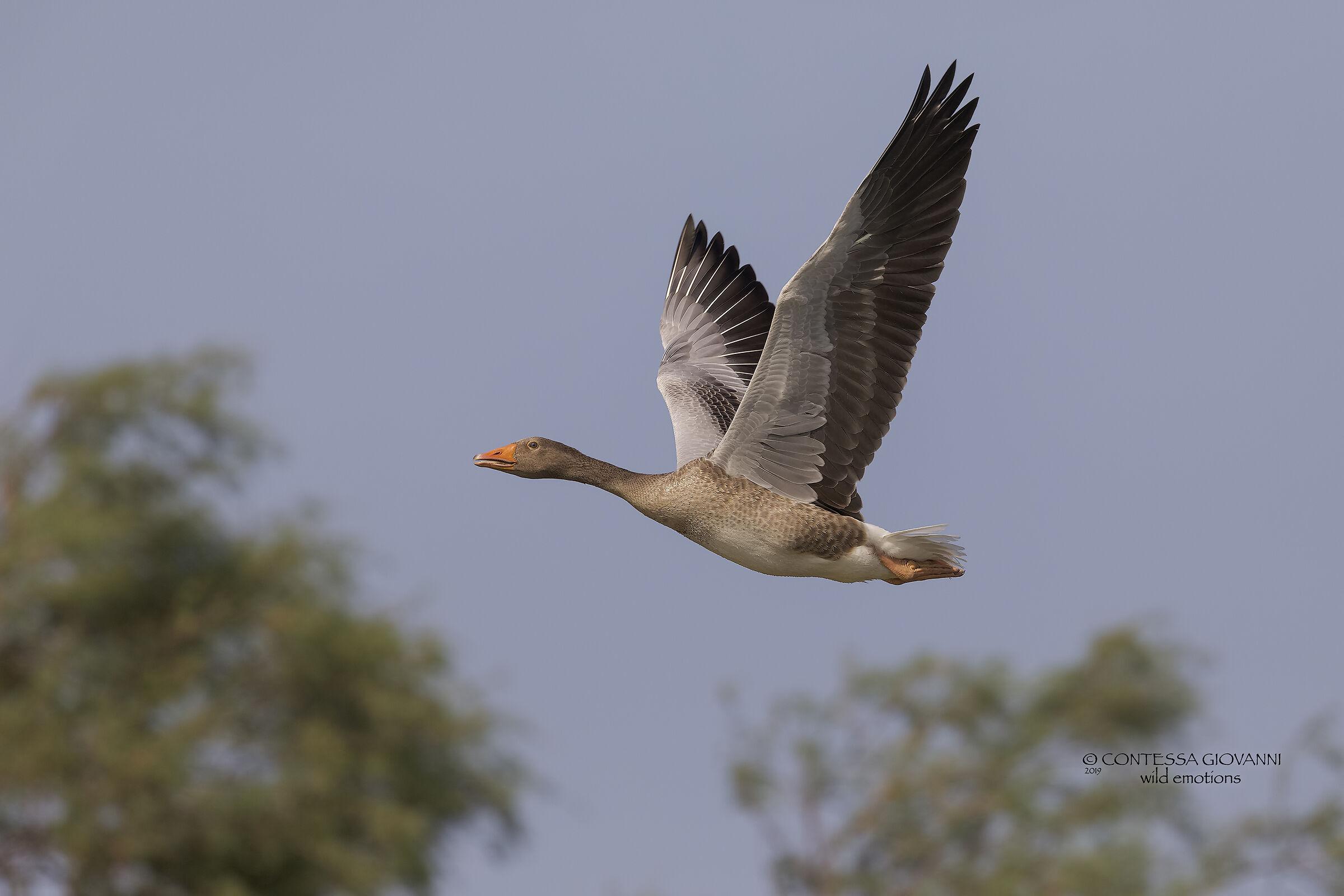 Greylag Goose Wild Goose Anser Anser...