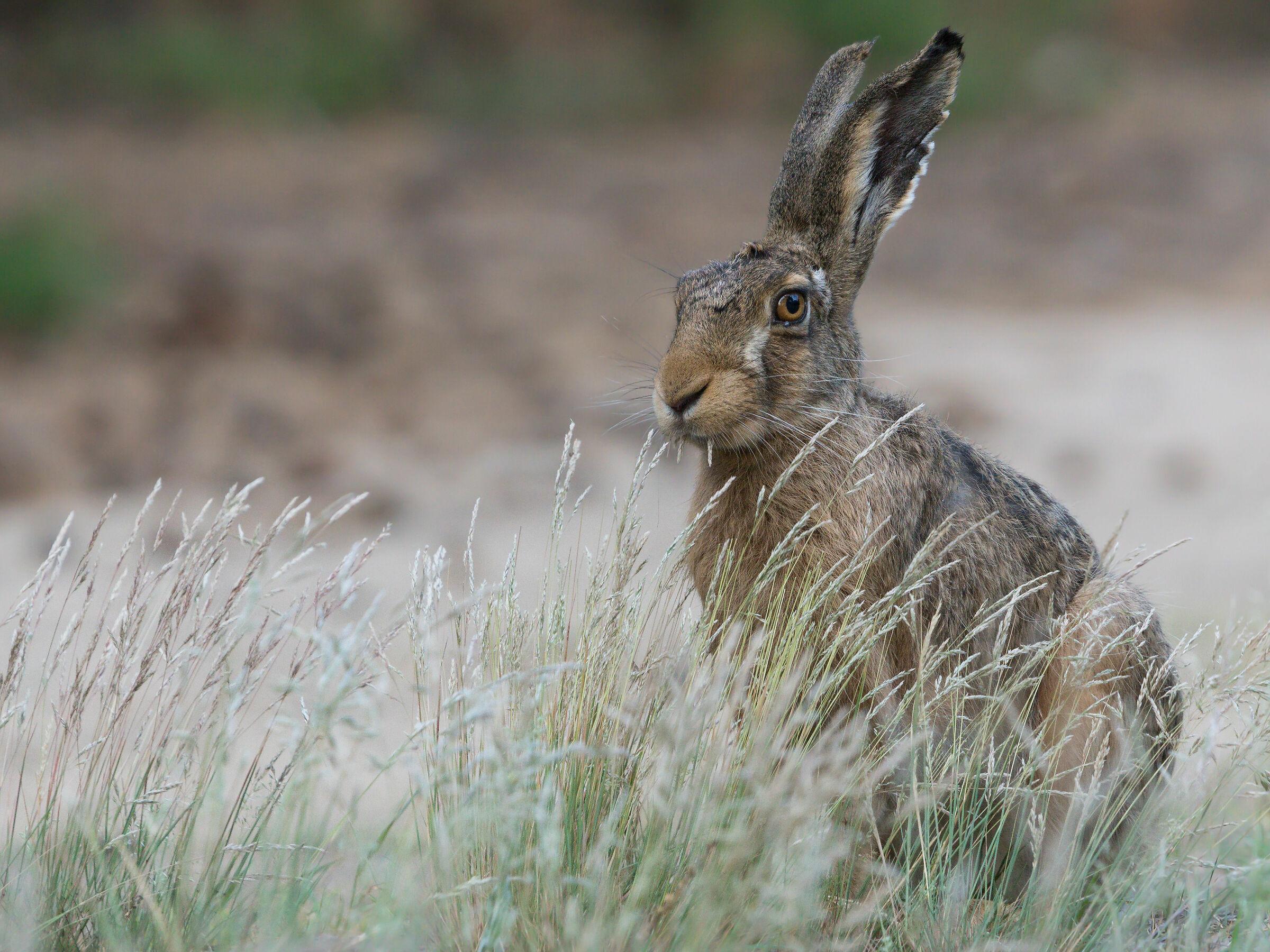 Brown hare (Lepus europaeus)...