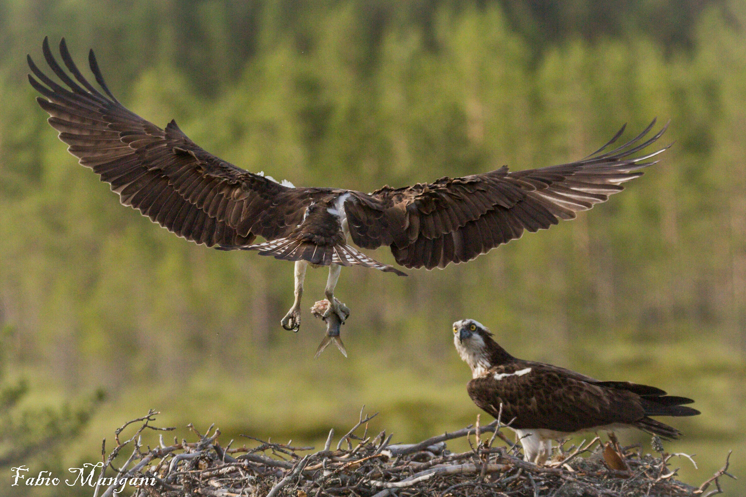 osprey with nest prey...