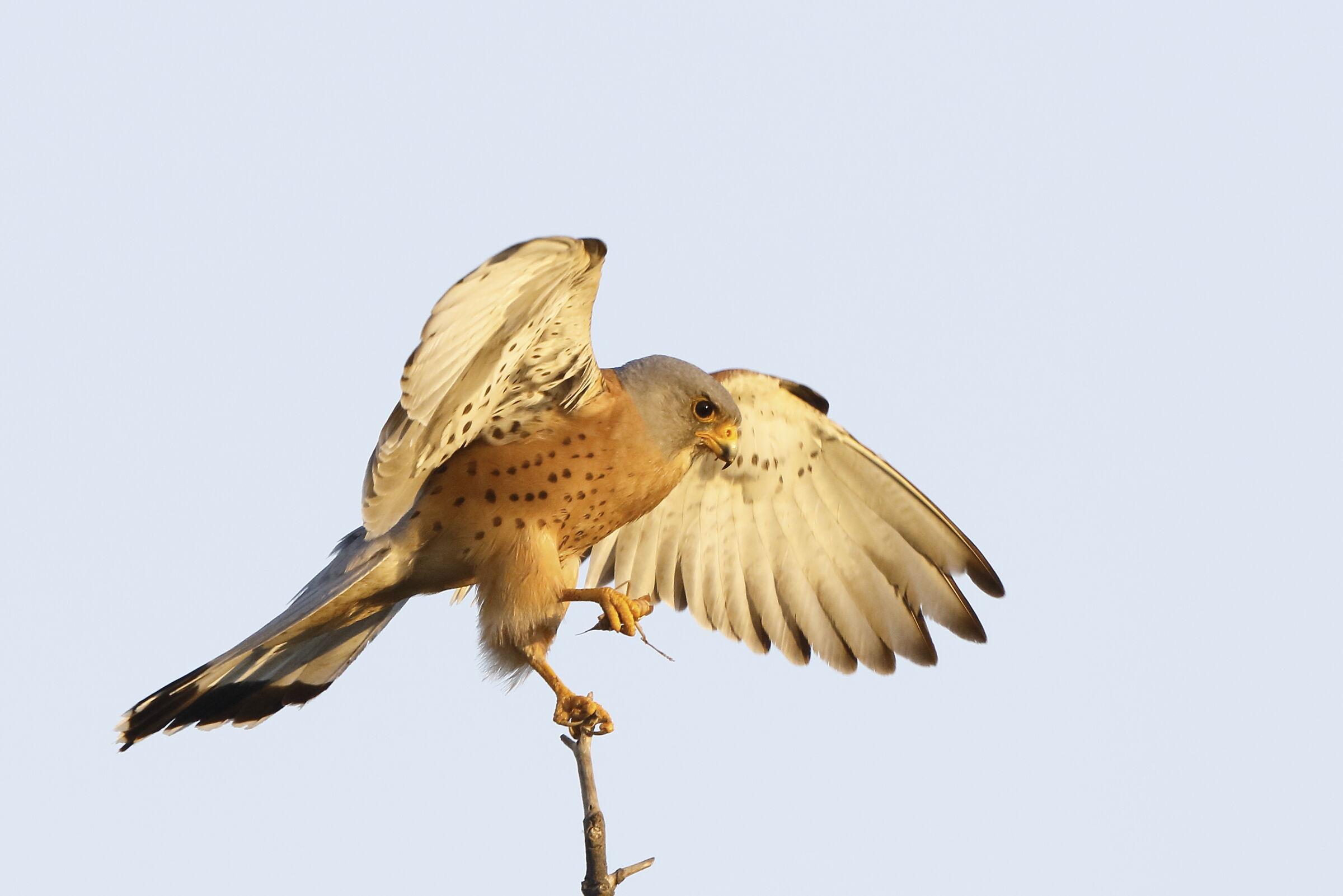 falcon cricketer...