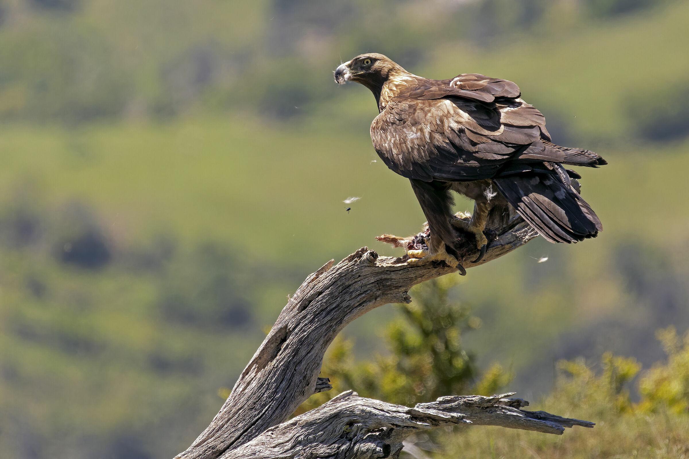 Aquila reale...