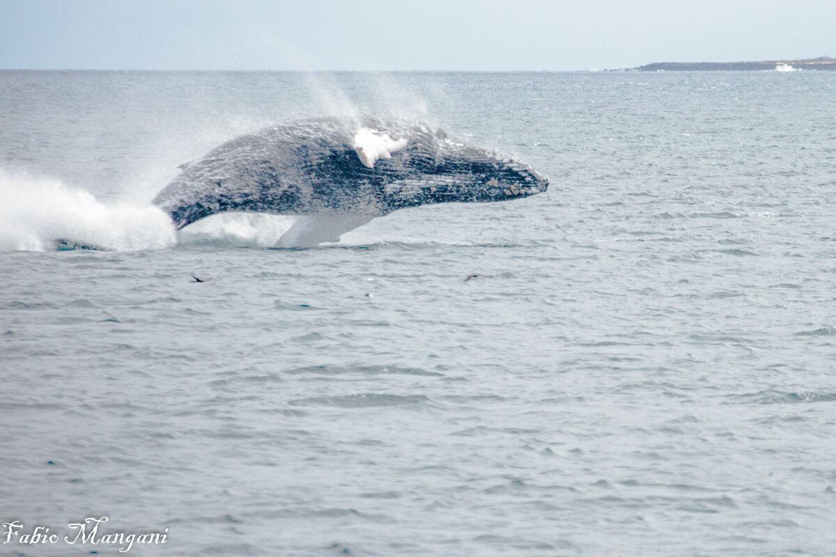 Galapagos humpback whale...
