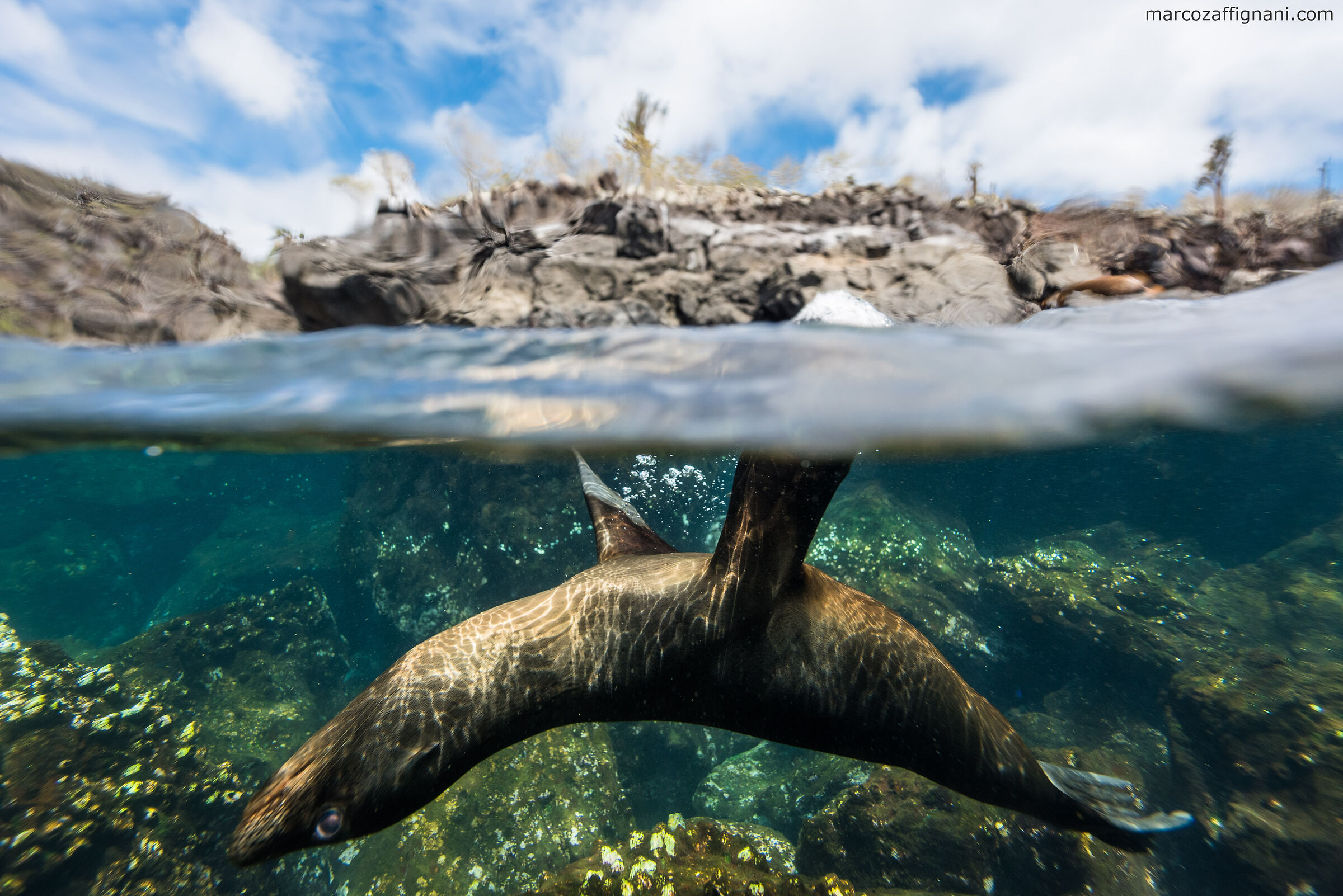 The sea lions of Isla Santa Fe, Galapagos...