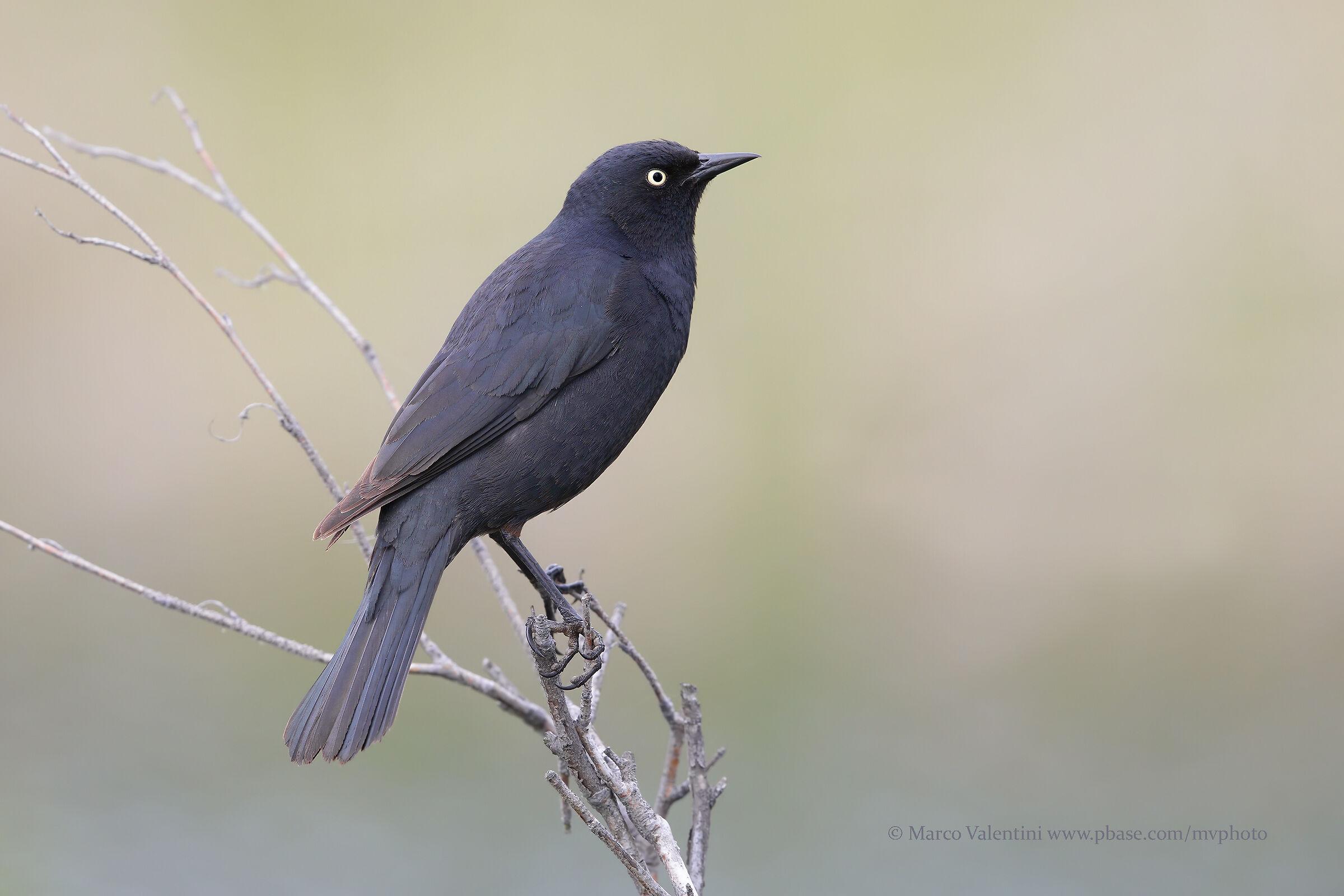 Rusty Blackbird, New...
