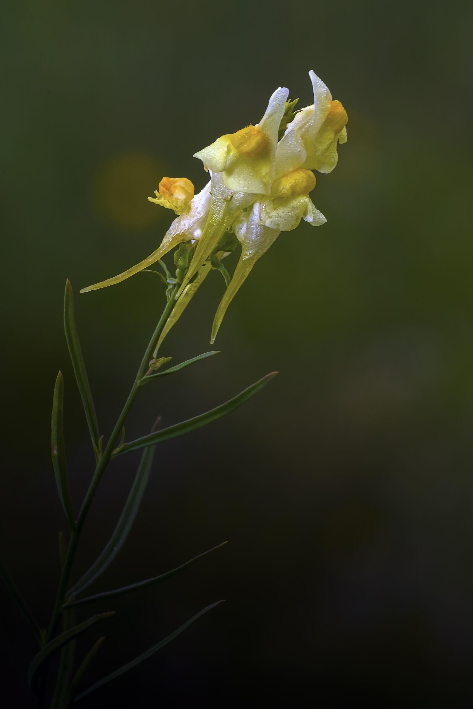 Linaria vulgaris...