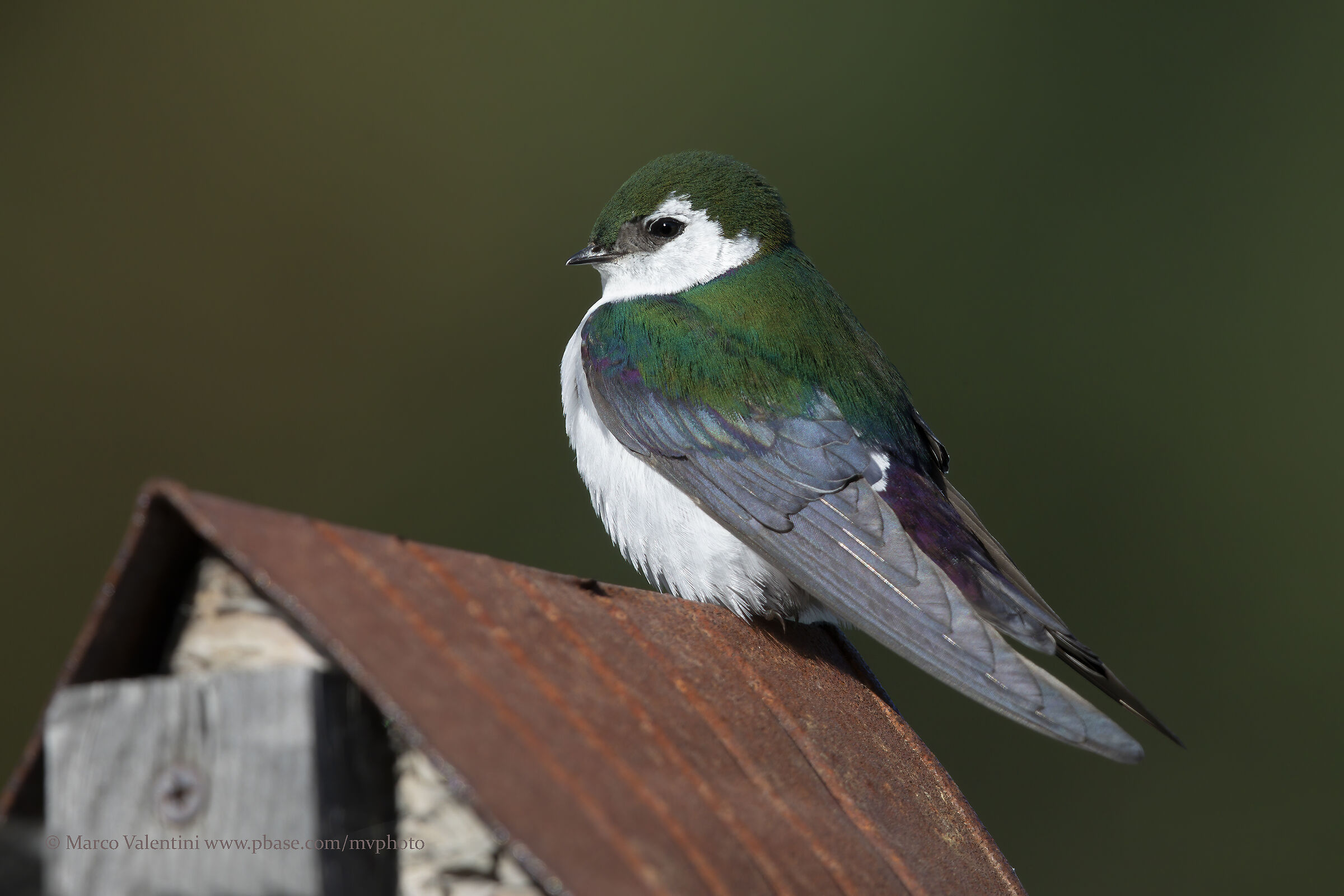 Green-purple swallows...