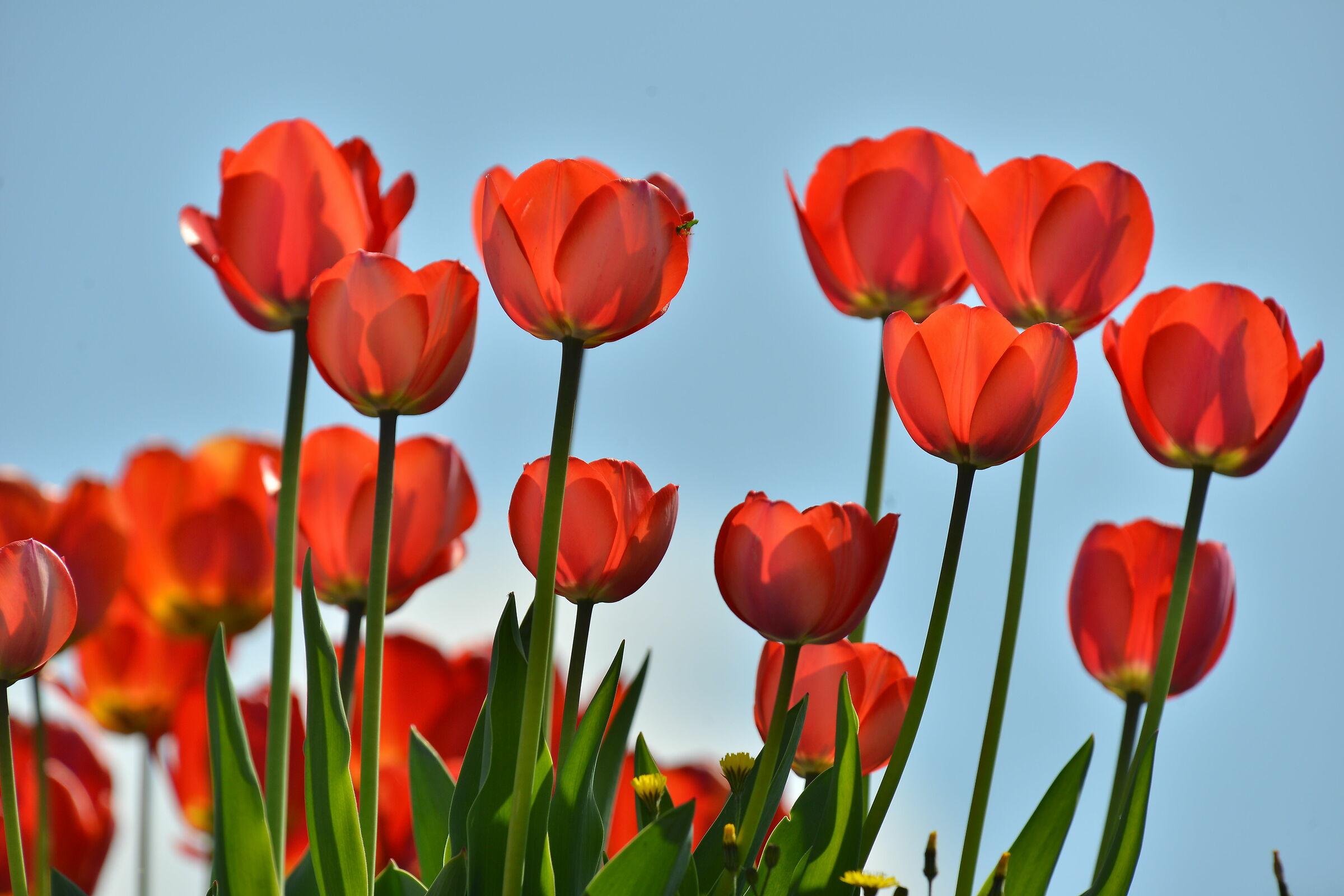 Tulipani...
