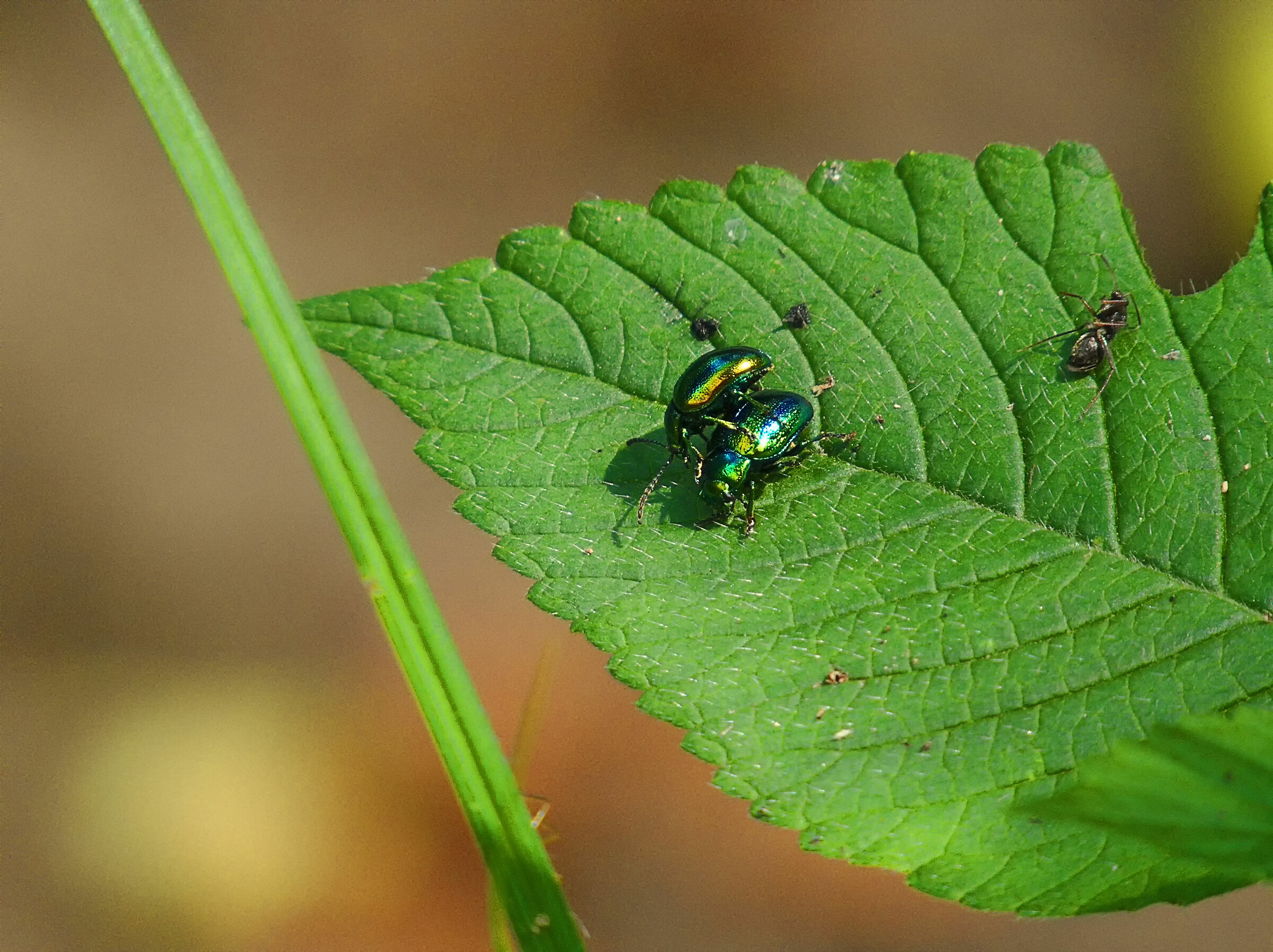 Colorful Pair of Beetles...