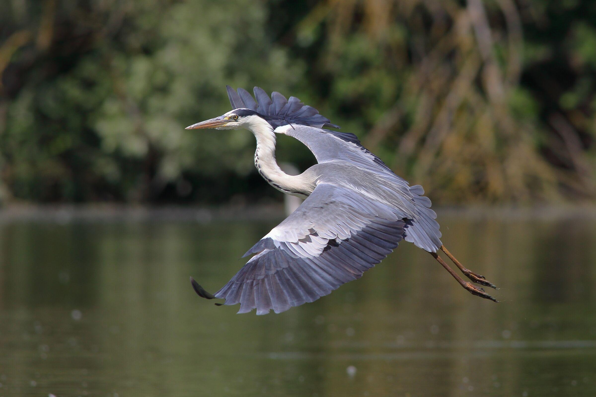 Ashes heron (Ardea cinerea)...