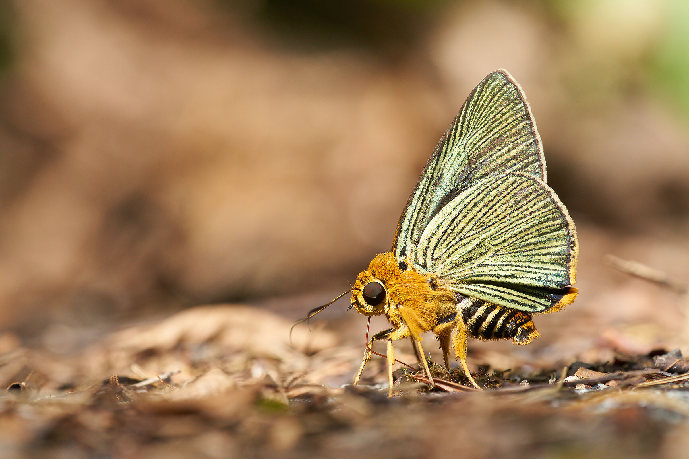 Green wings...