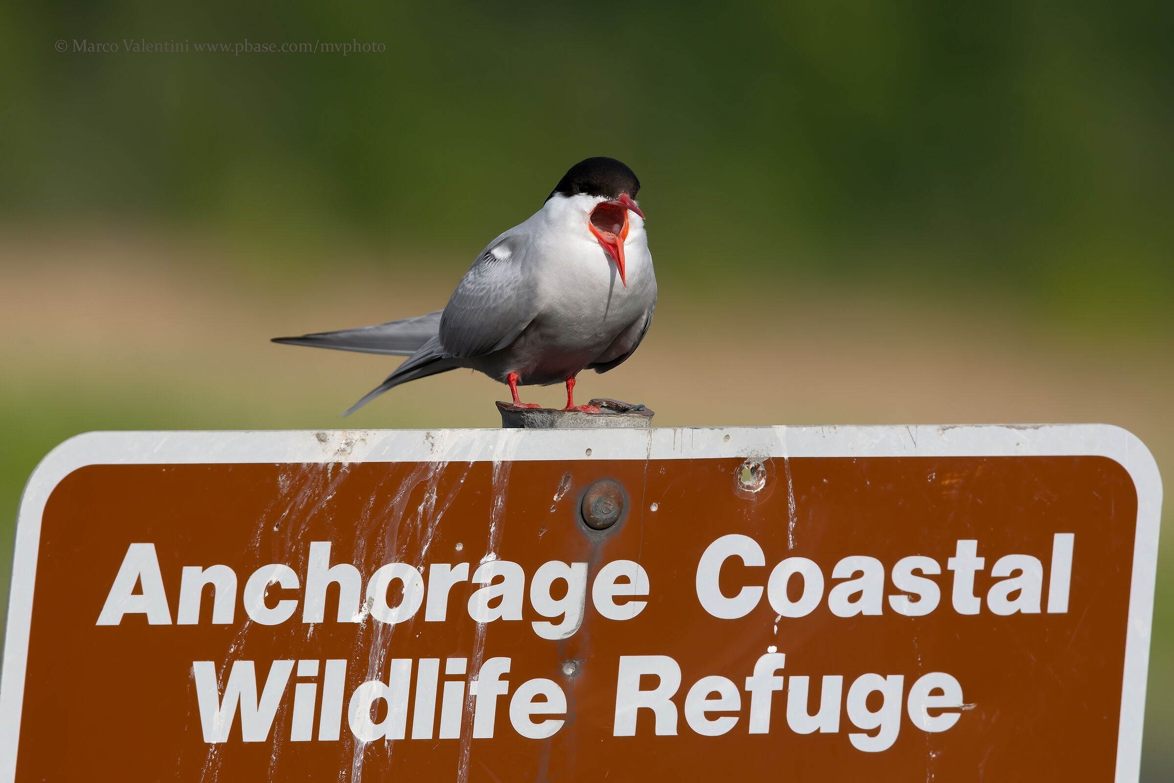 Arctic tern...