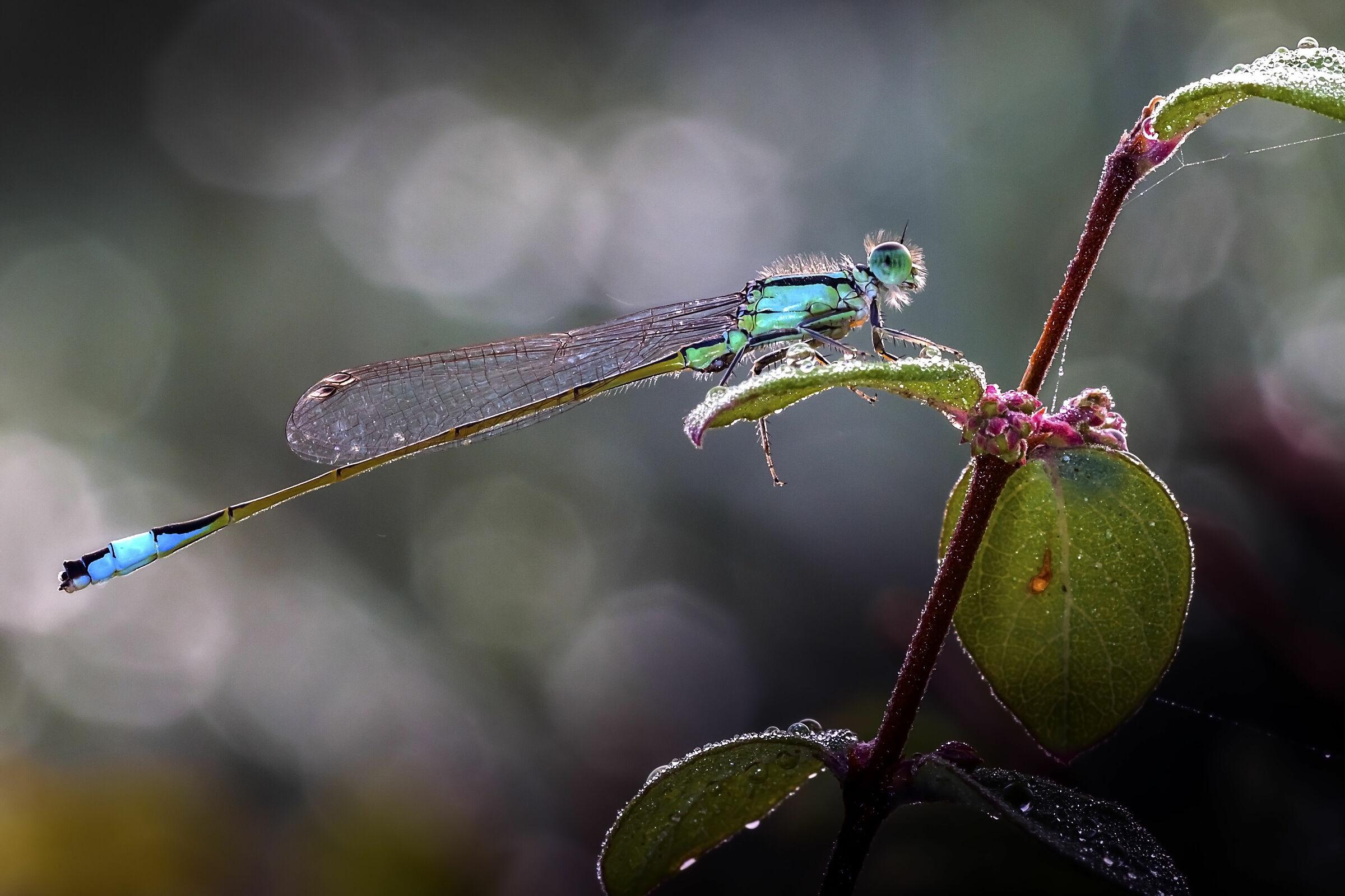 Ischnura elegans...