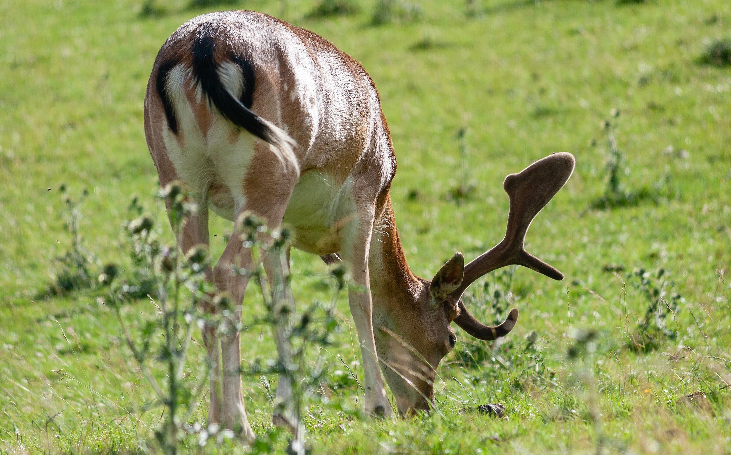 Bambi 2...