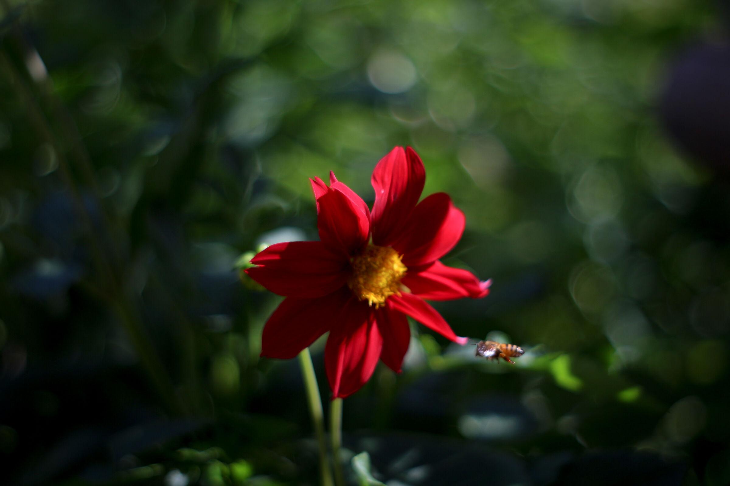 Red Daisy No....