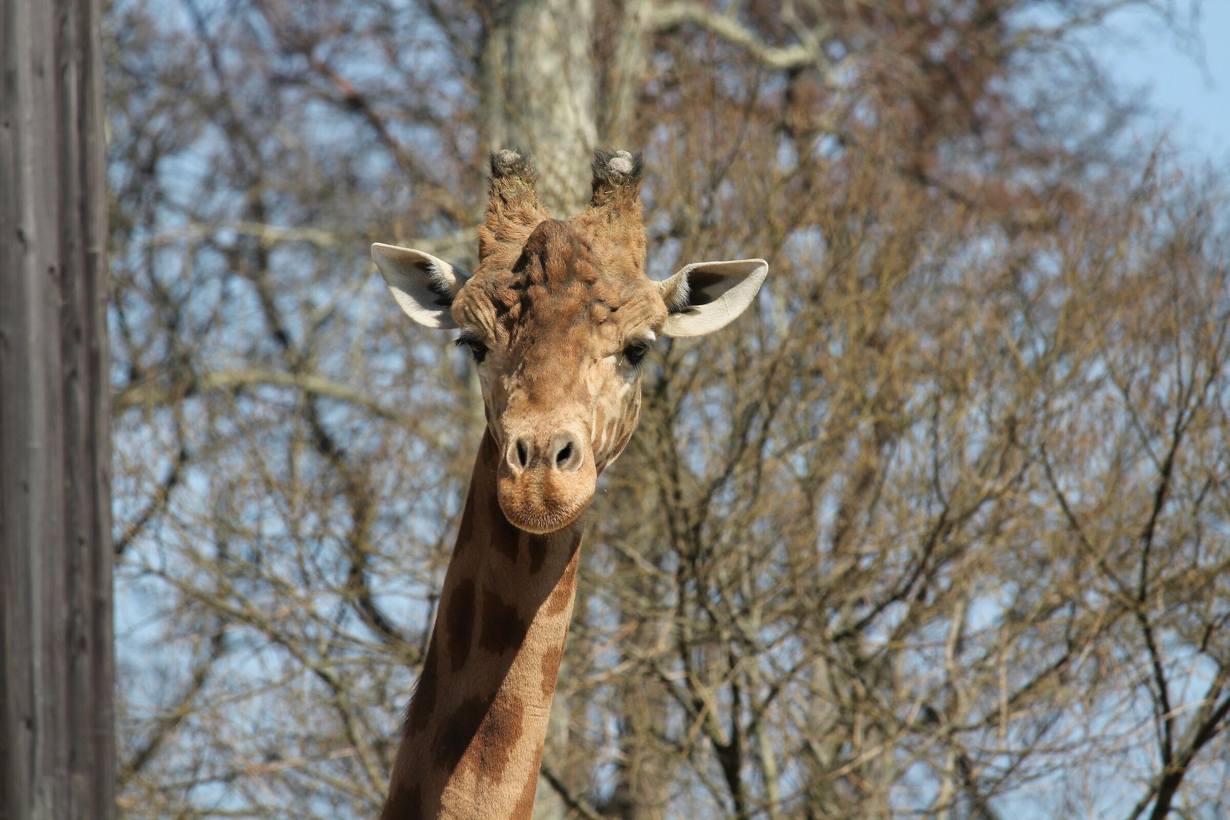Hungry Giraffe...
