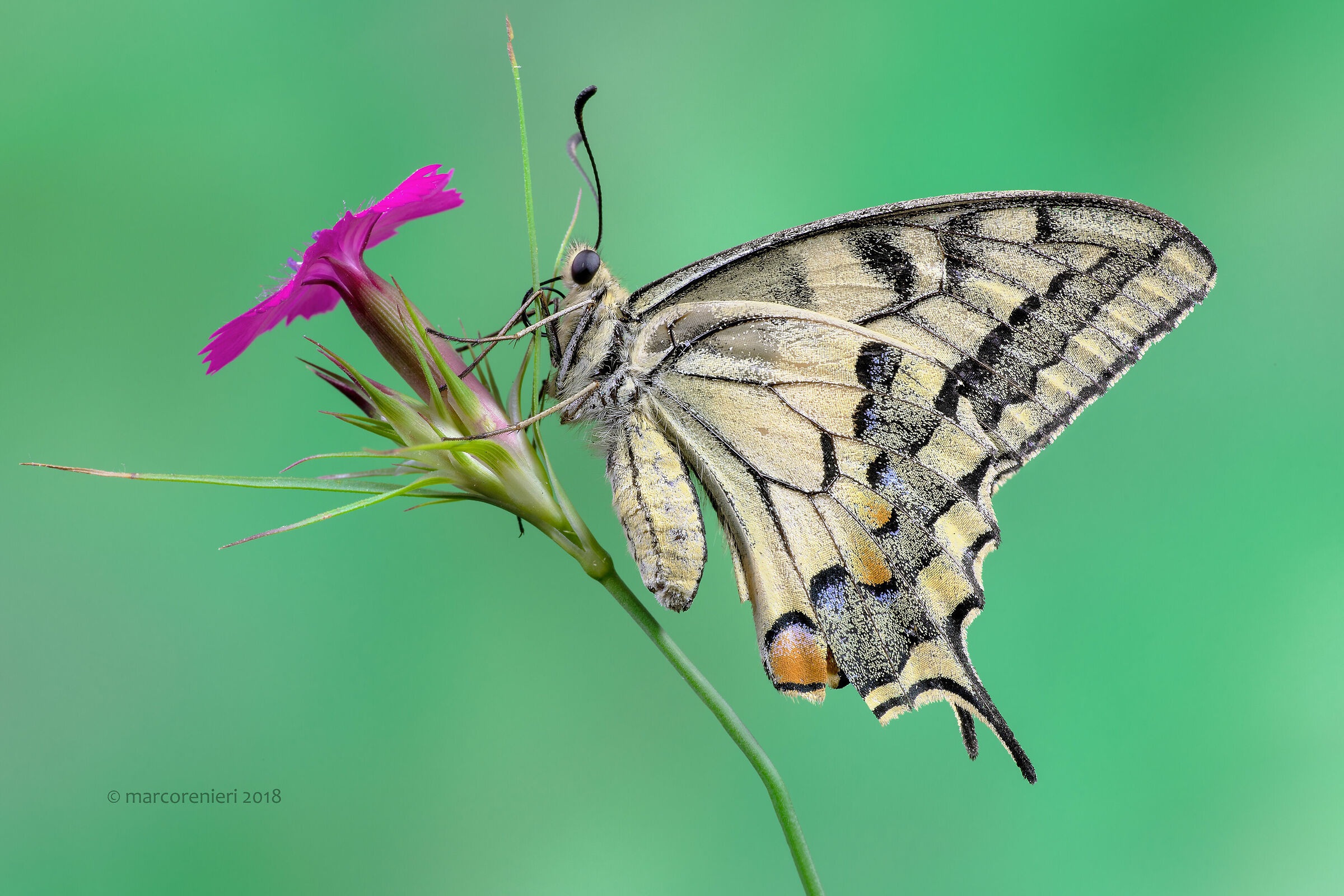 Papilio machaon lived...