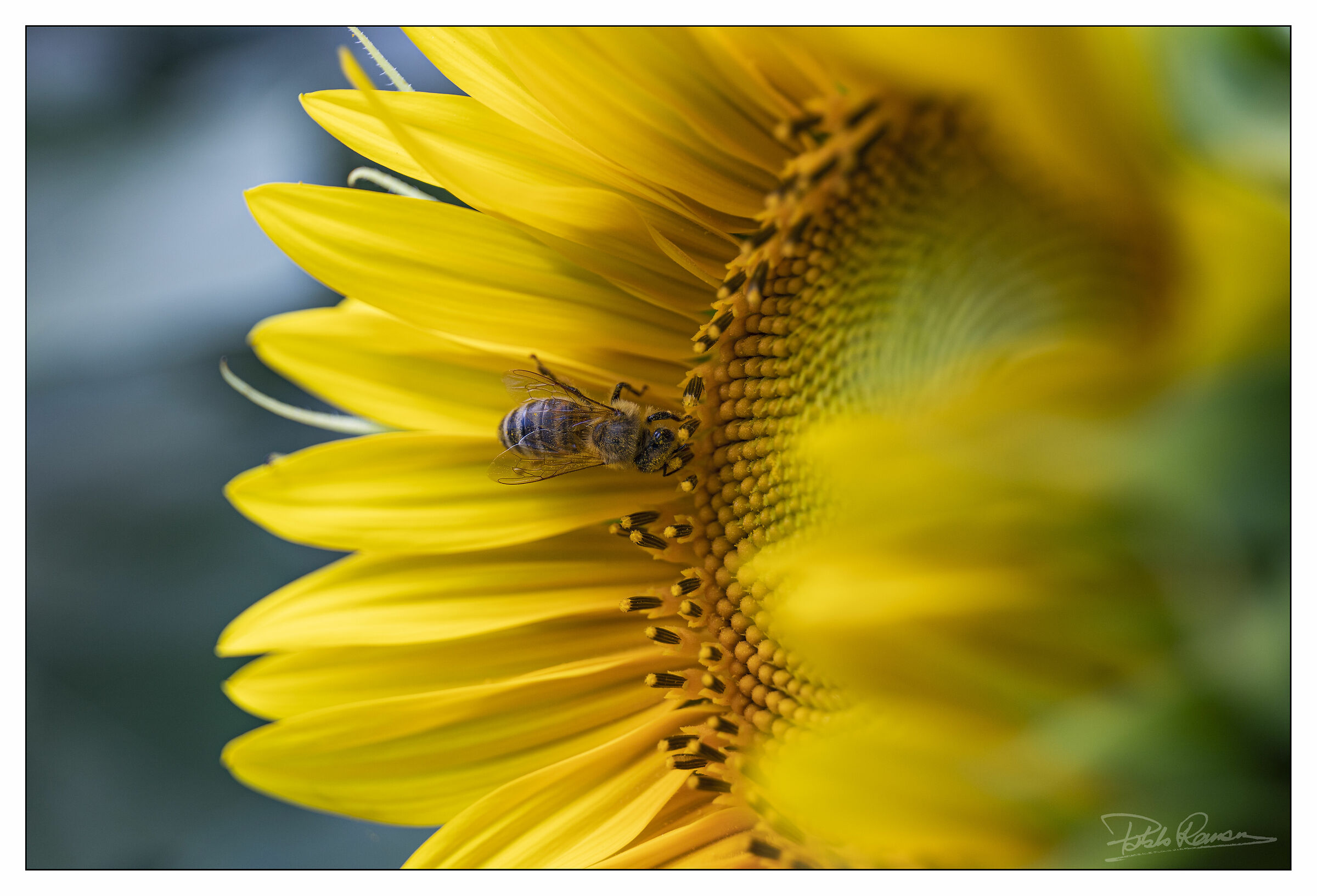 bee on sunflower...