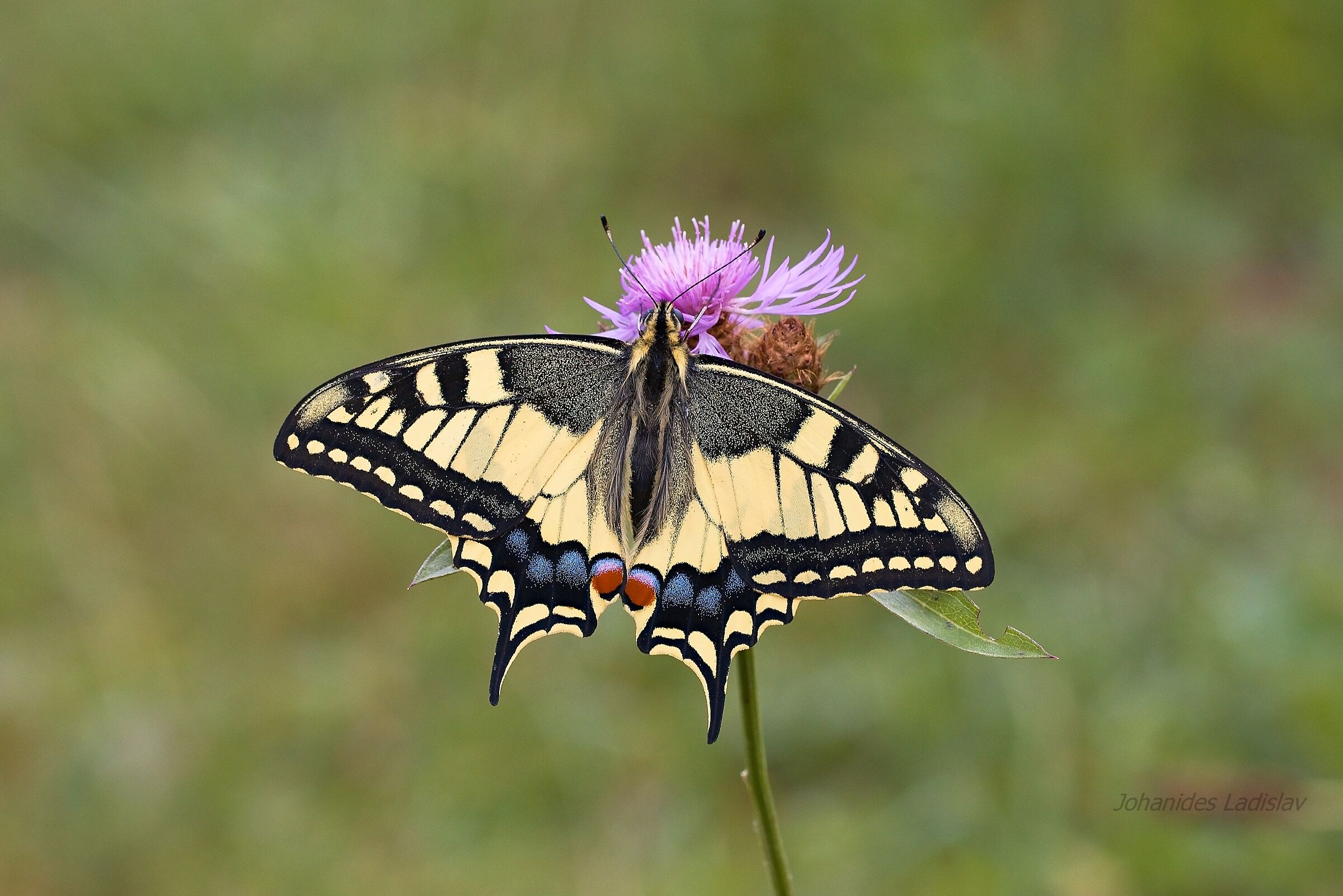 Papilio machaon...