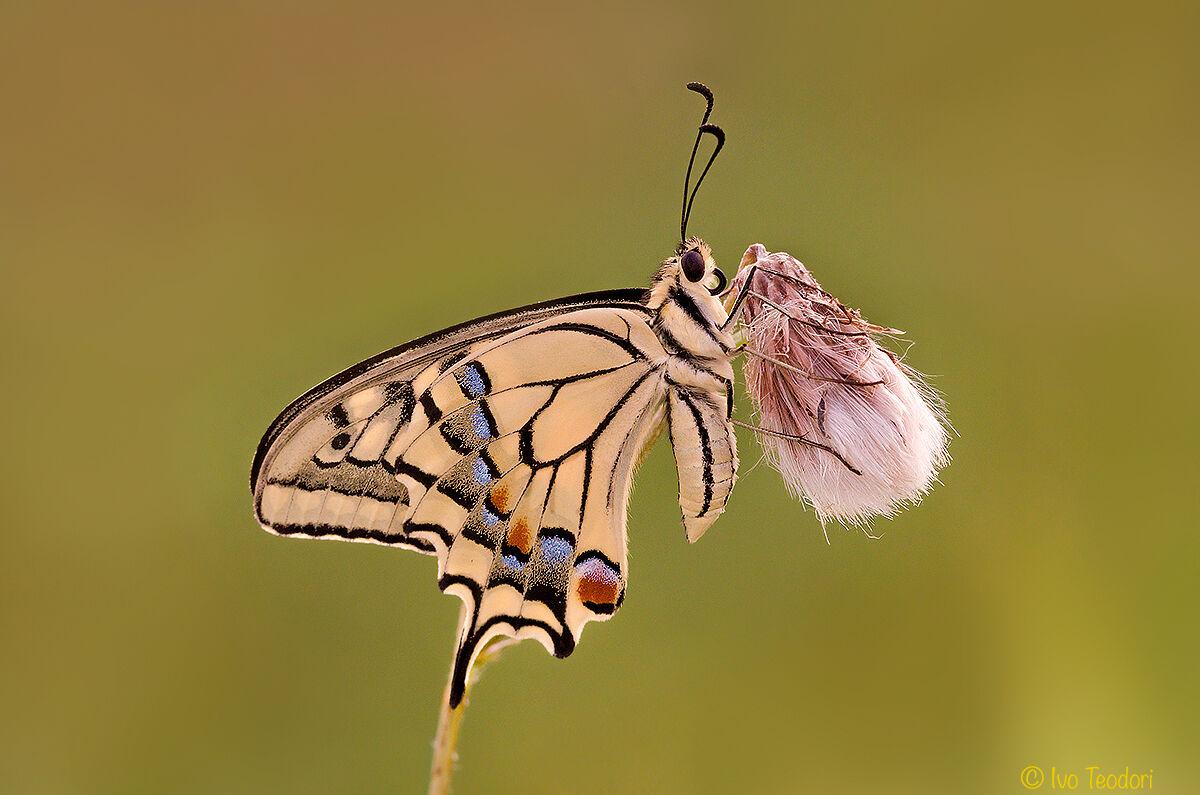 Swallowtail....