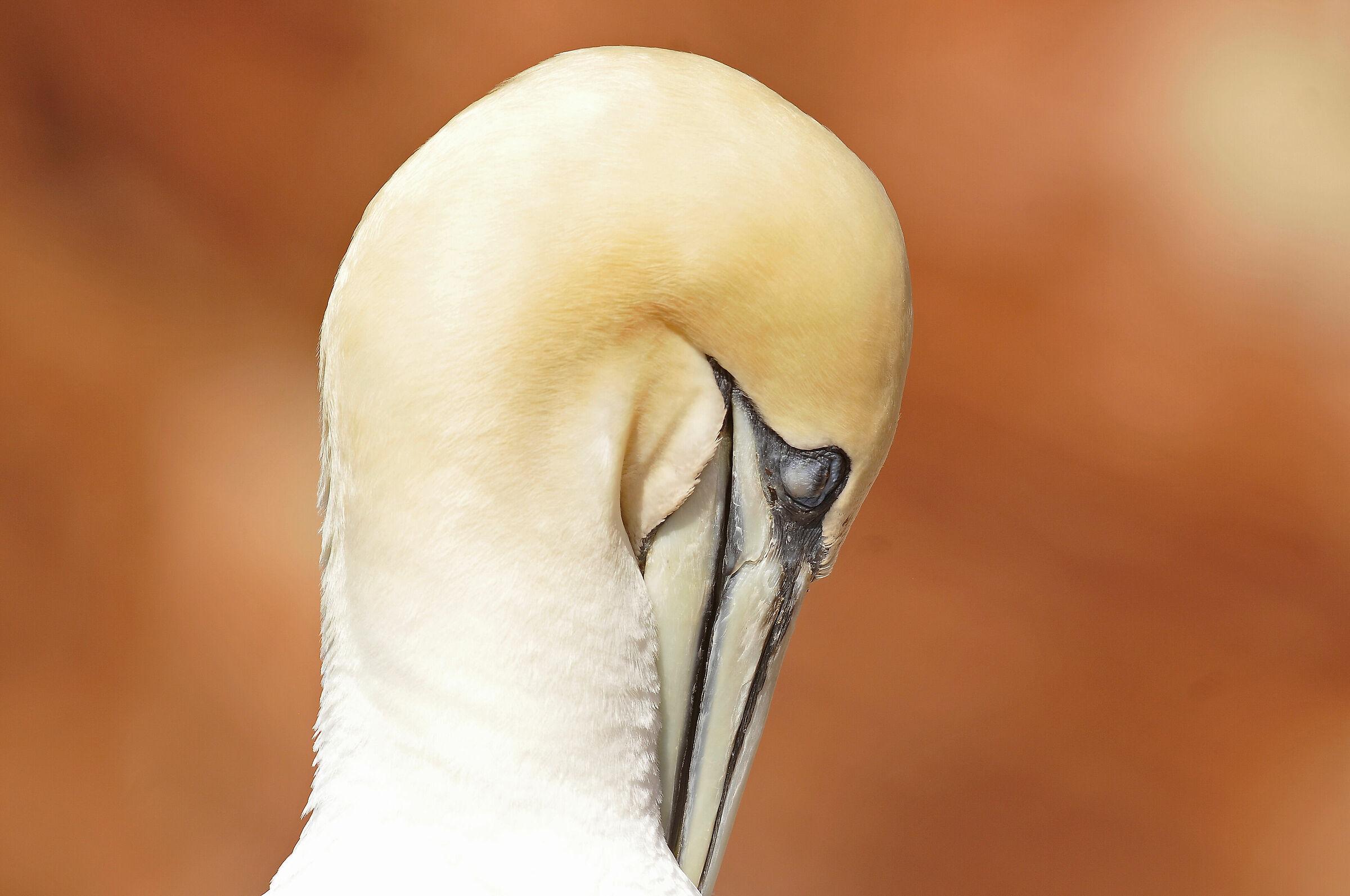 Sula (Northern gannet)...