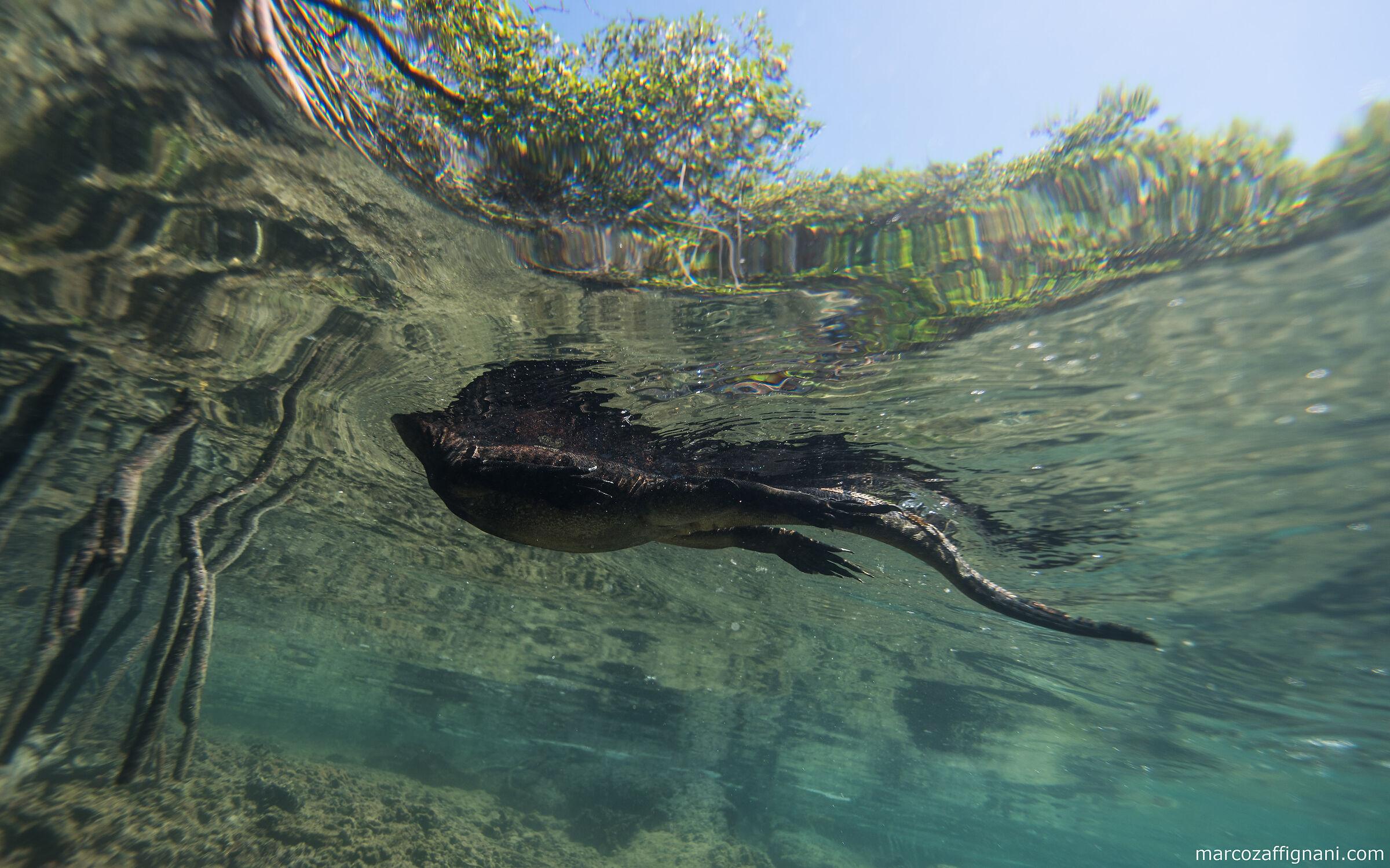 Galapagos Marine Iguana...