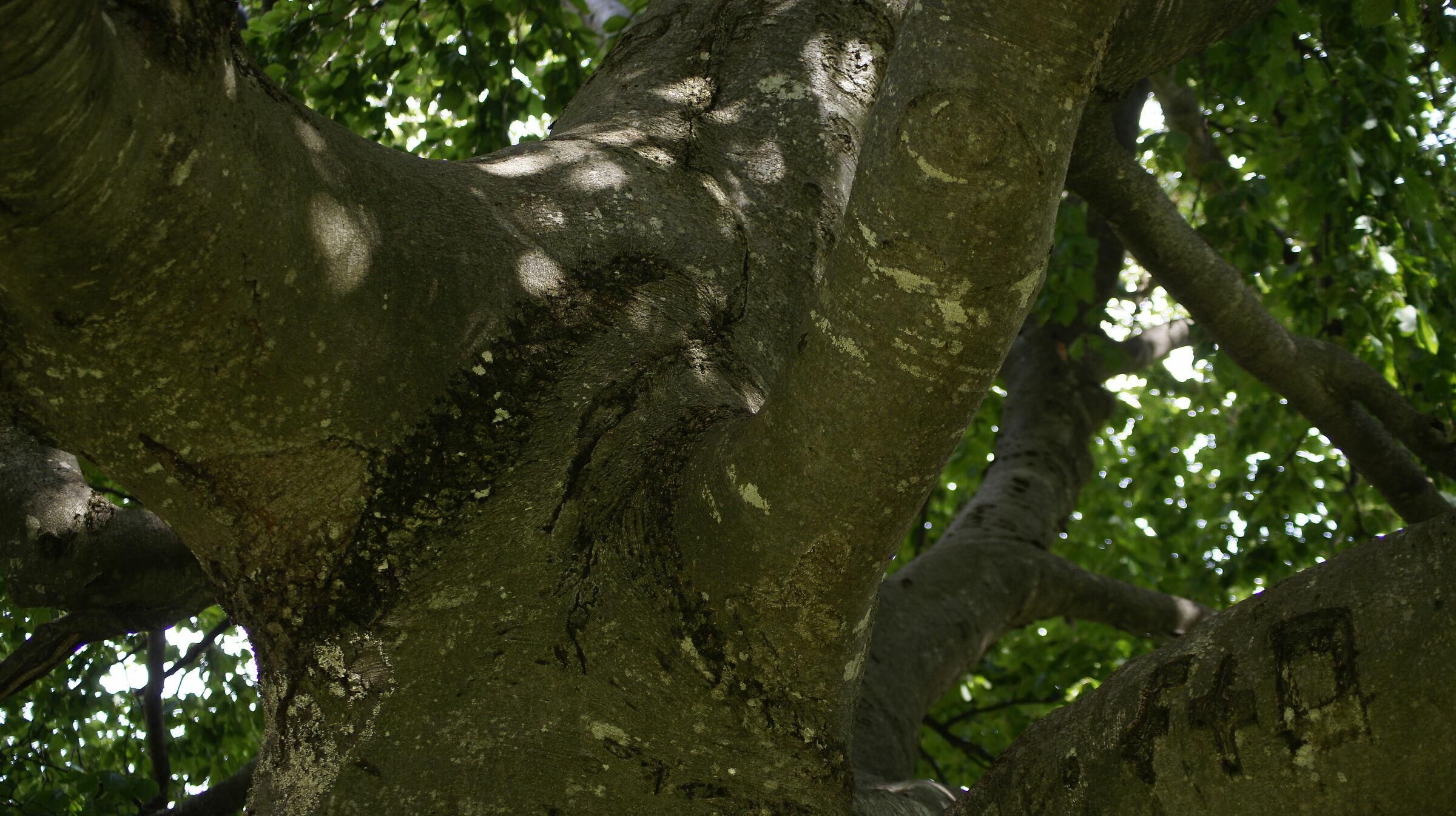 tree at the step of the Presolana...